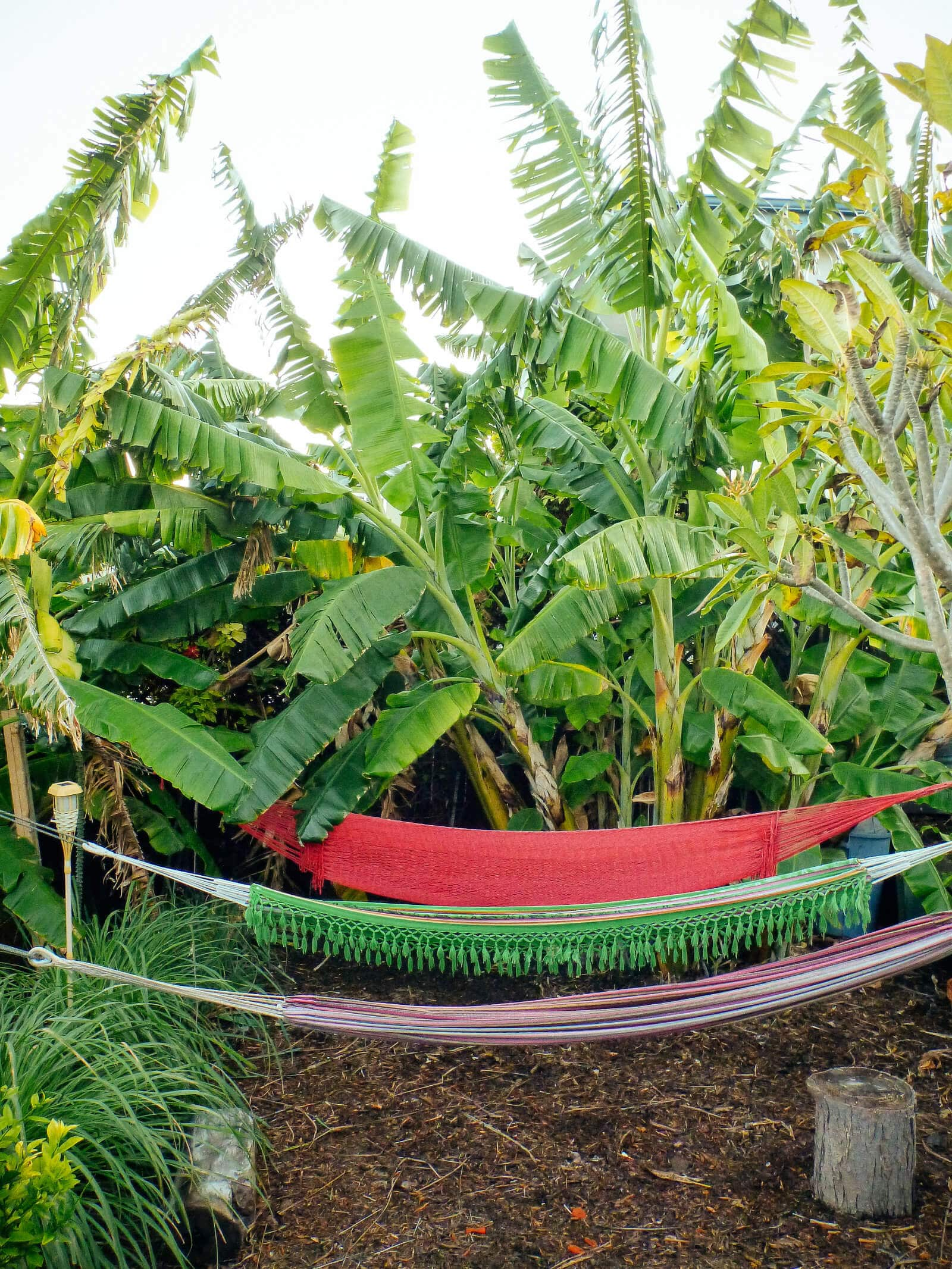 Banana plants growing in a Southern California backyard