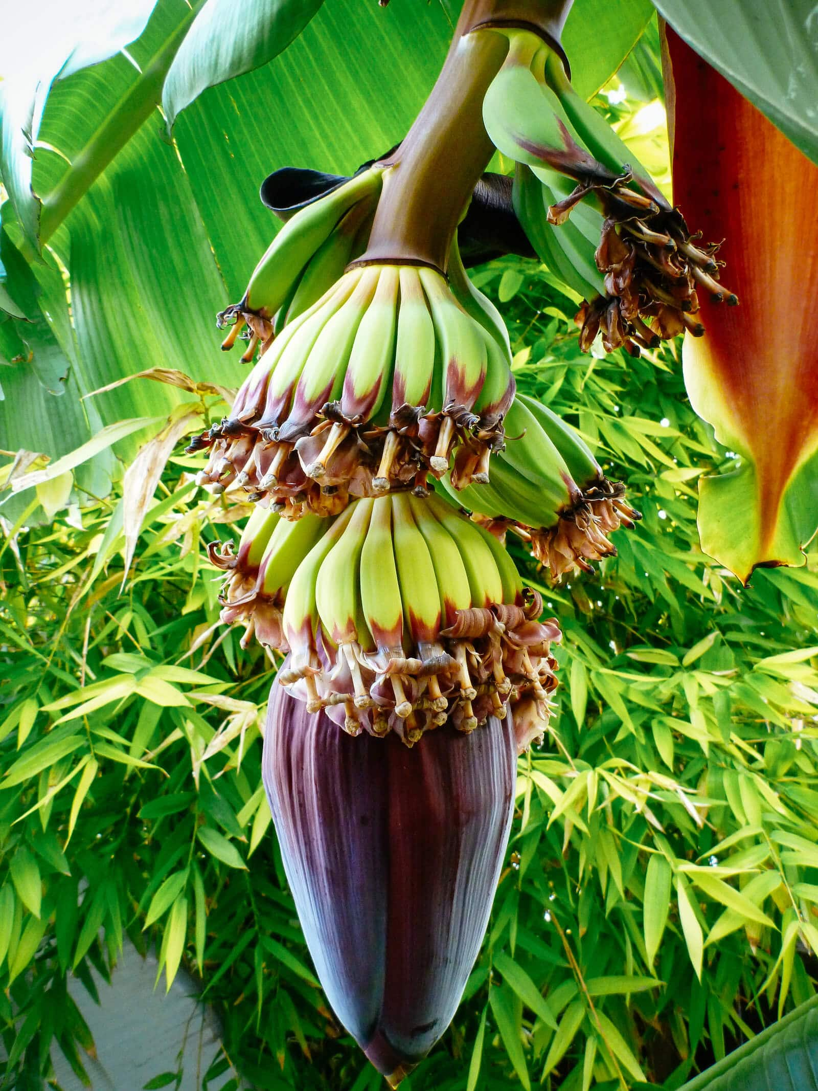 Young bananas growing on a single plant