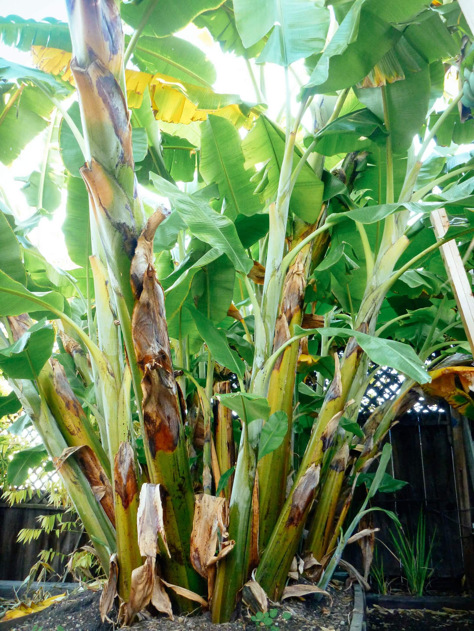 Banana plants (shoots) can grow in clusters and look like a large tree