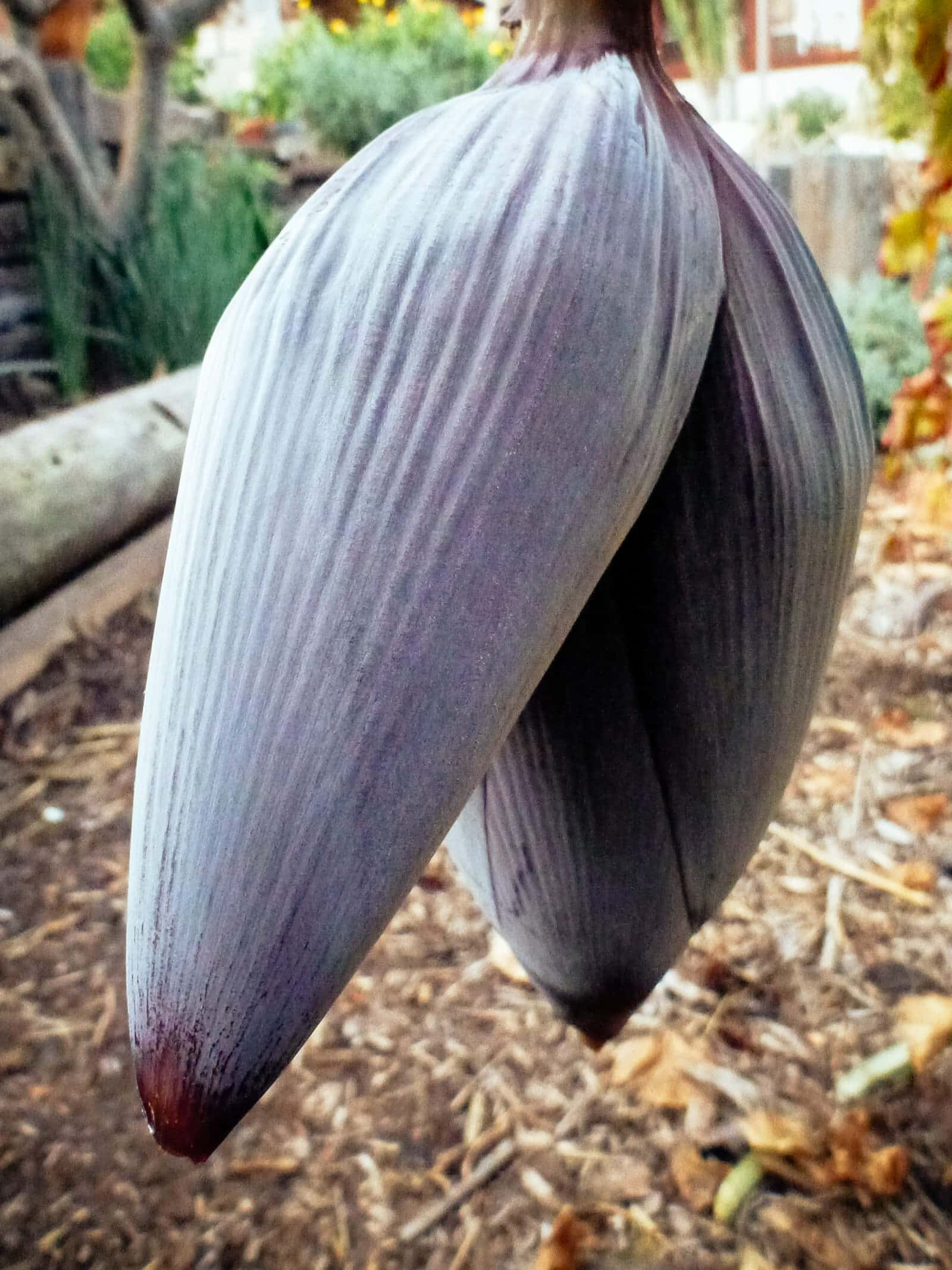 Deep purple inflorescence (bud) on a banana plant, also called a banana heart