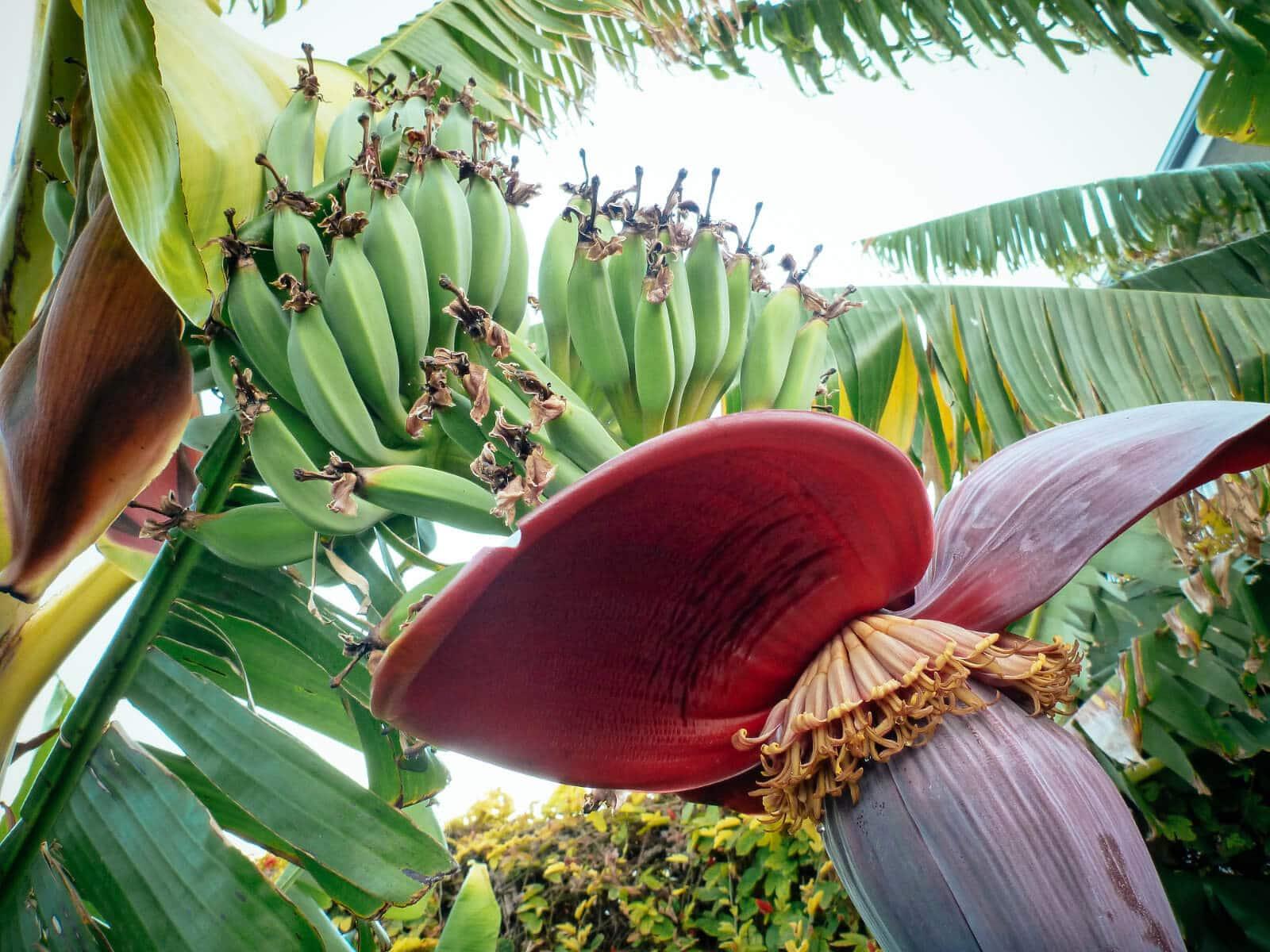 Immature banana fruit formed from female banana blossoms