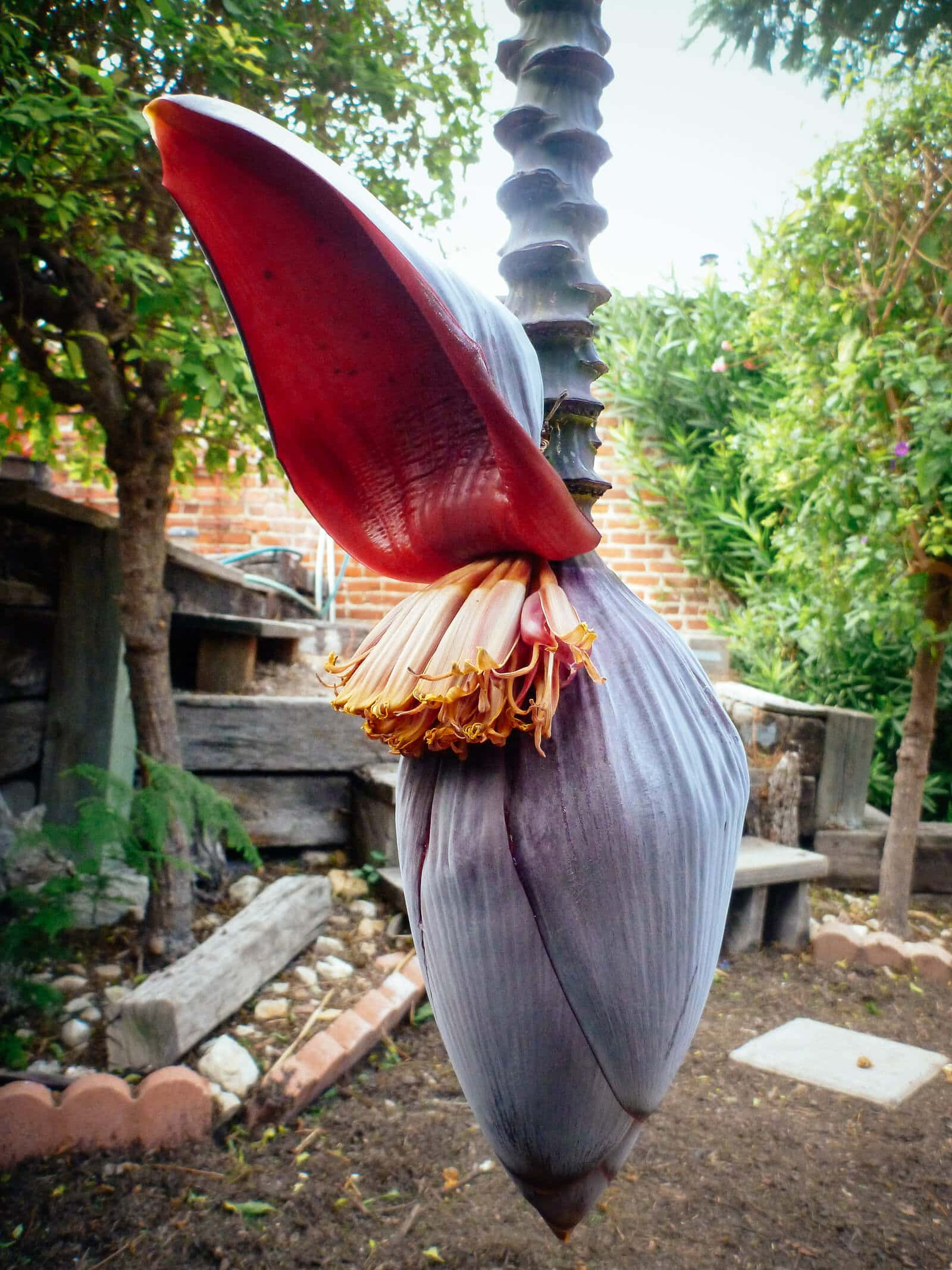 Each petal (bract) of the banana heart opens to reveal double rows of banana blossoms