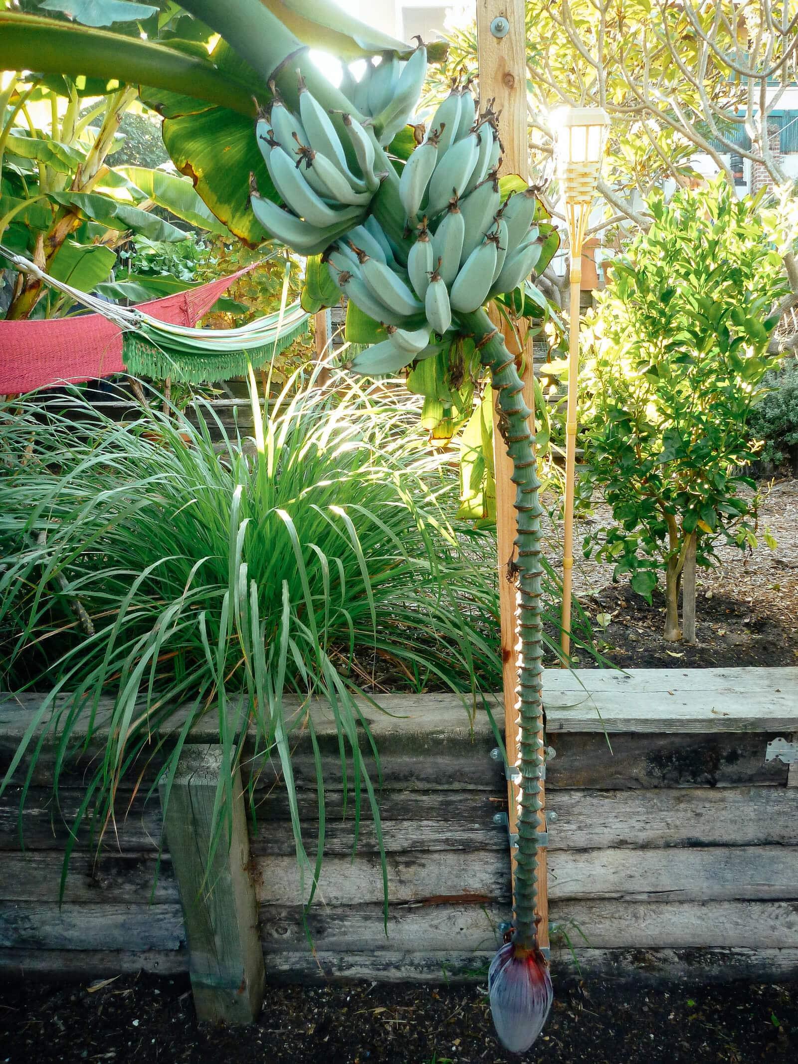 A long rachis on a banana plant