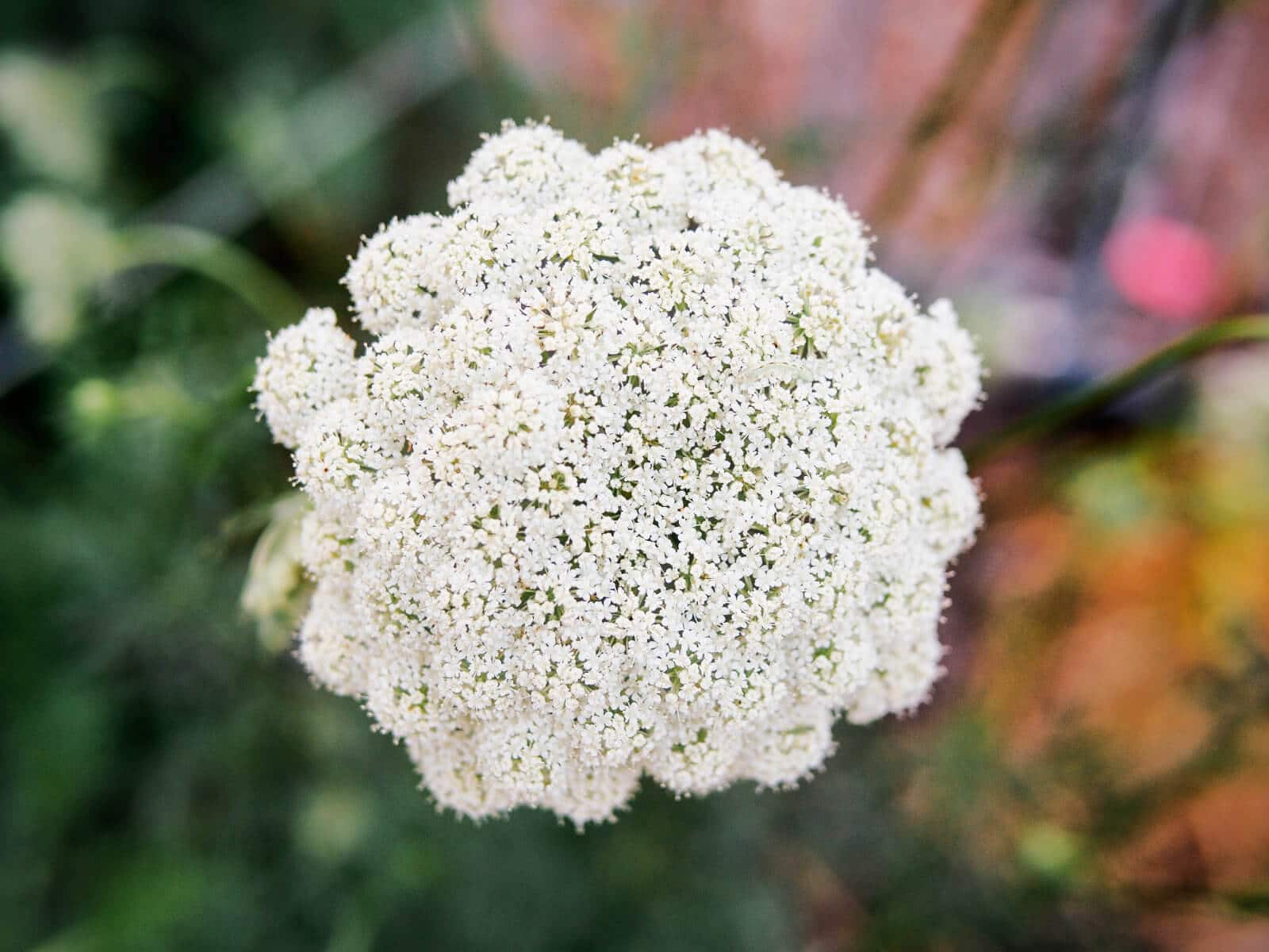 Carrot flowers resemble Queen Anne's lace umbels