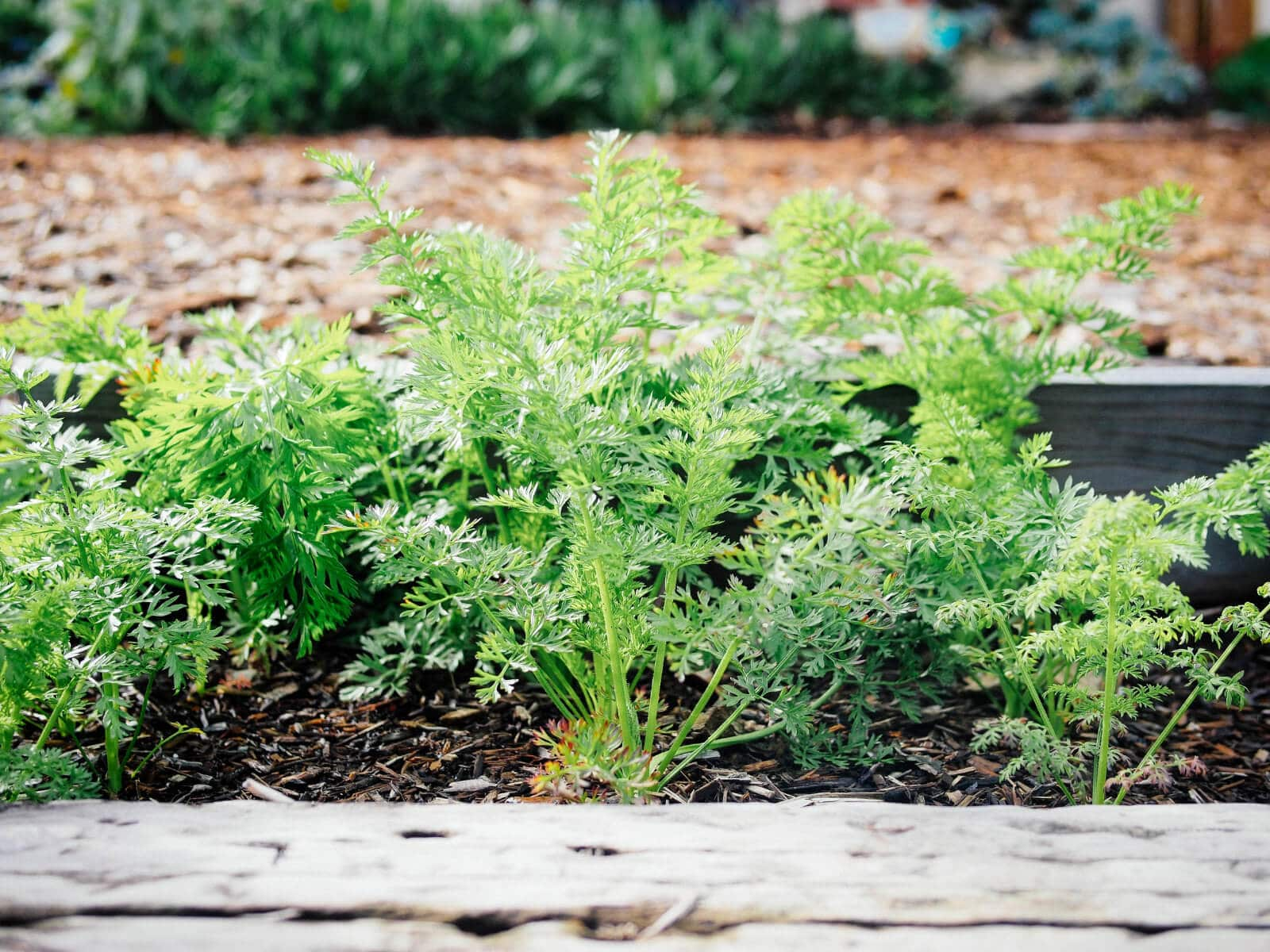 Carrot greens are edible