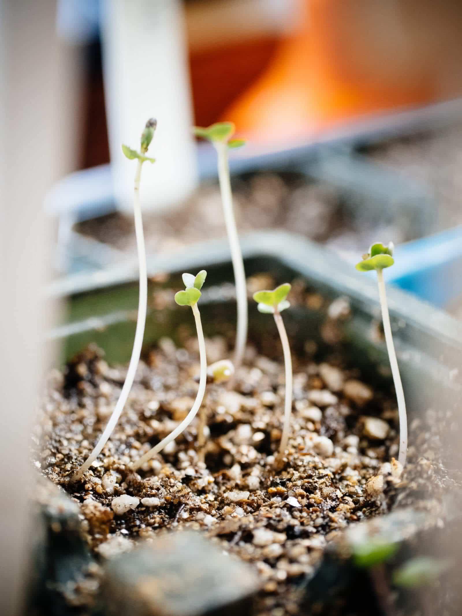 Seeds started indoors