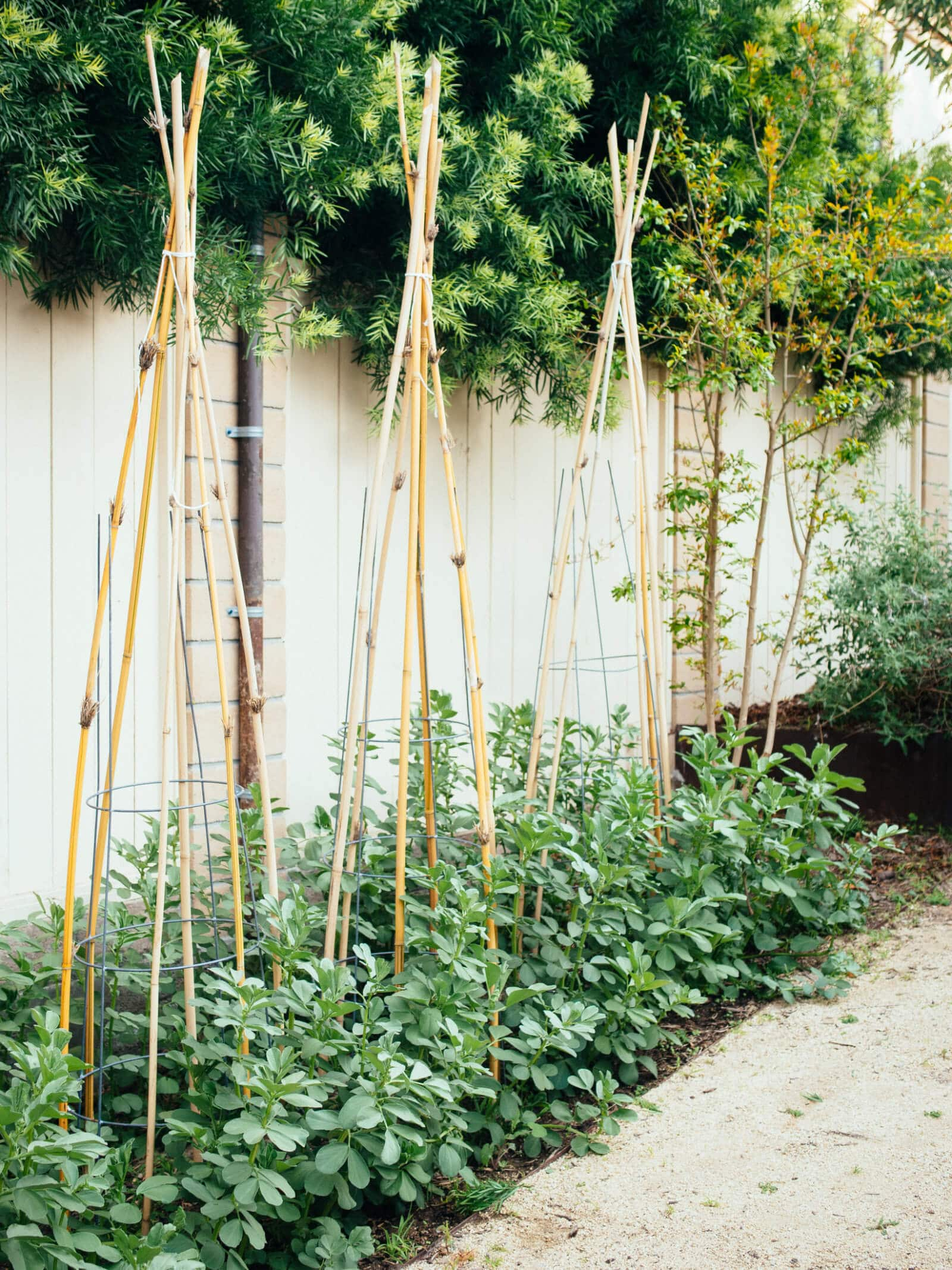 Fava bean plants grow tall and lanky and need support from stakes or cages