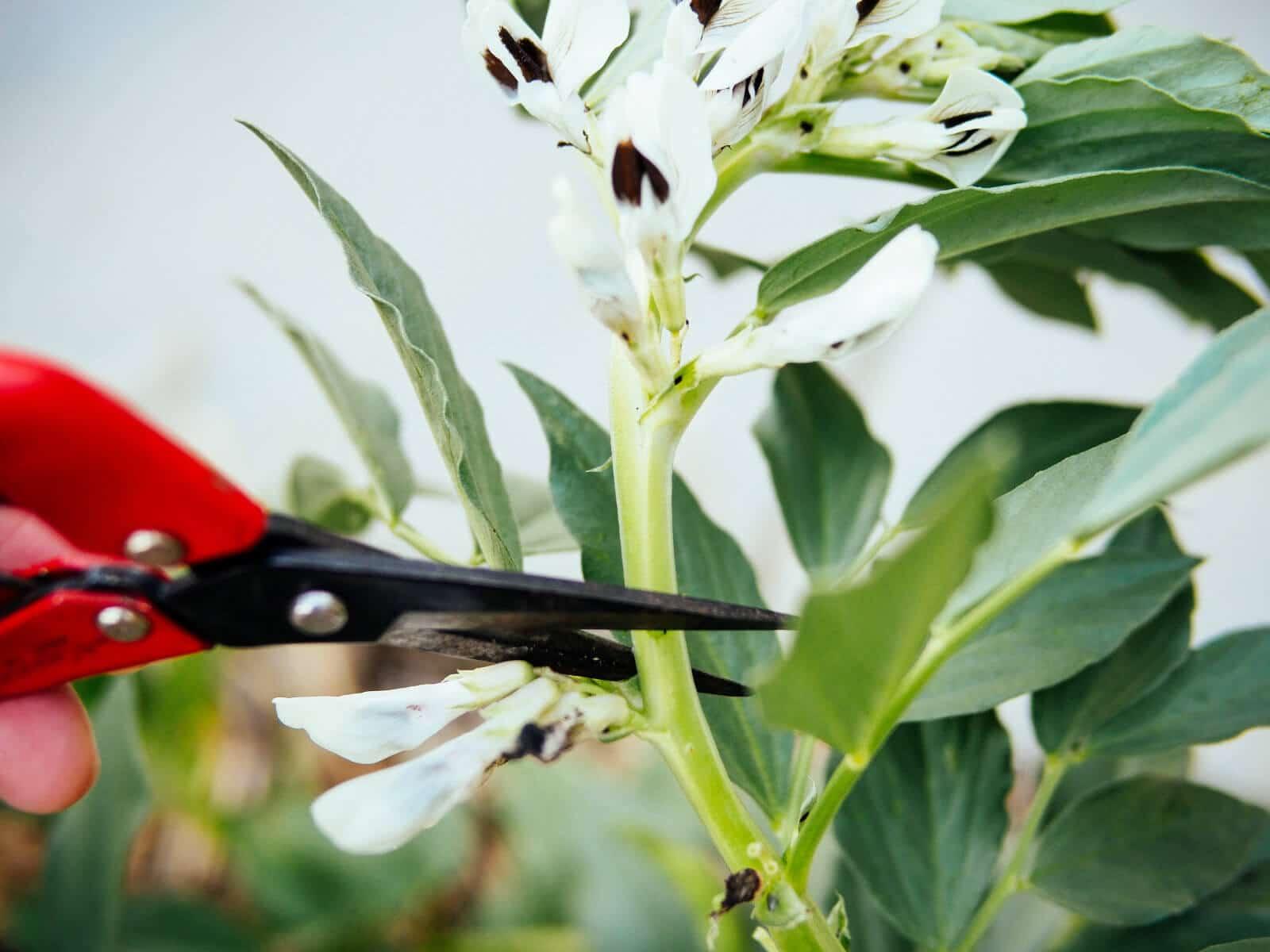 Prune a fava bean plant just above a leaf node