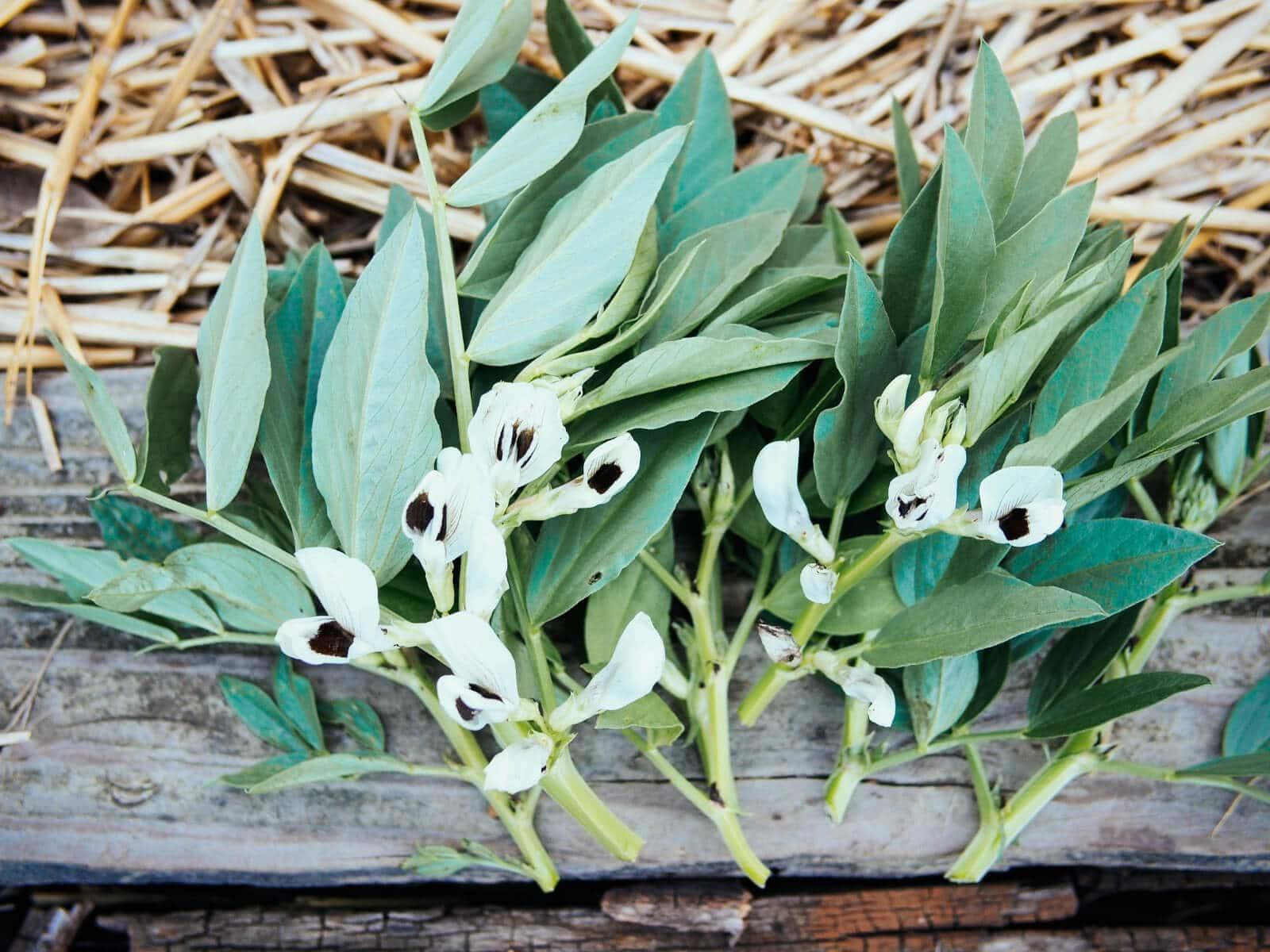 Freshly harvested fava bean leaves and fava bean flowers