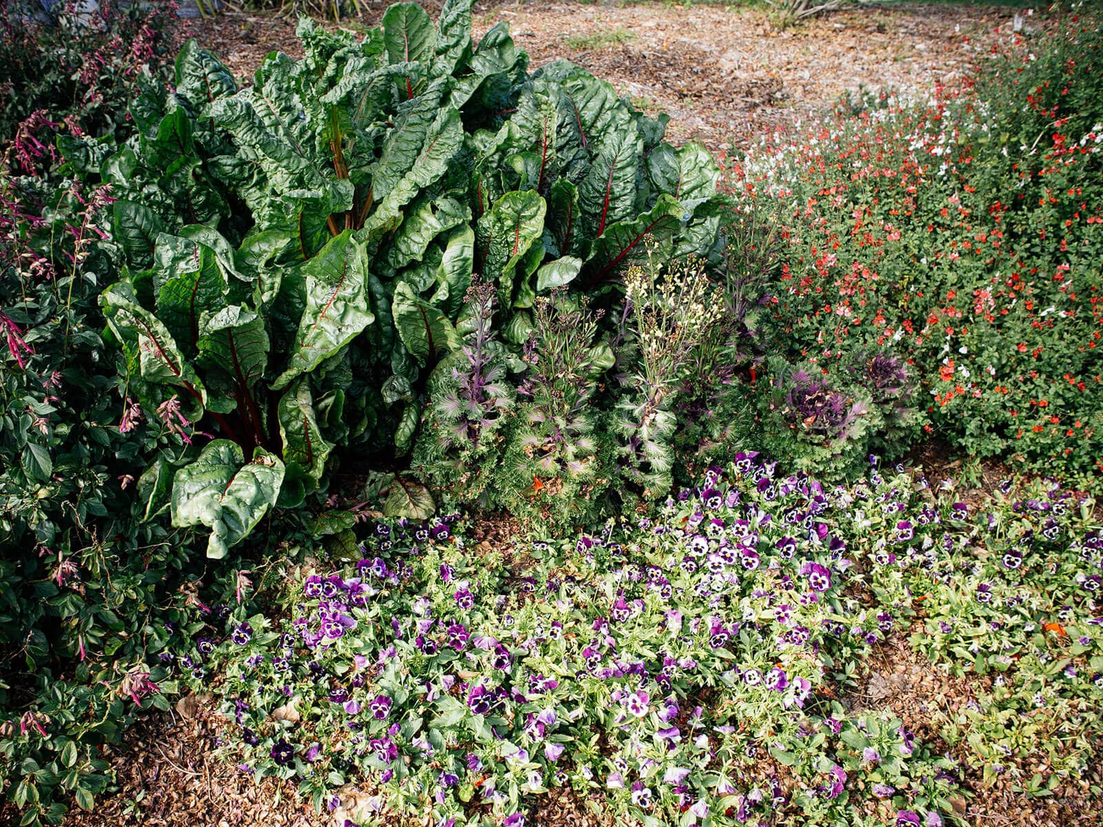 Viola acts as a living mulch for chard and ornamental cabbage