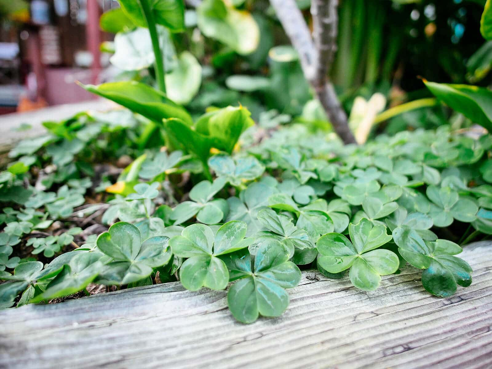 Wood sorrel (oxalis) makes an excellent edible ground cover for shady vegetable gardens