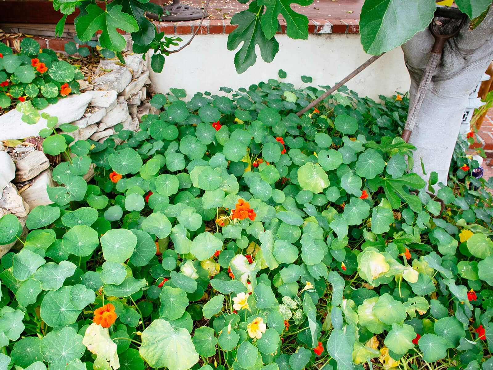 Plant nasturtiums as edible ground covers and trap crops in vegetable gardens