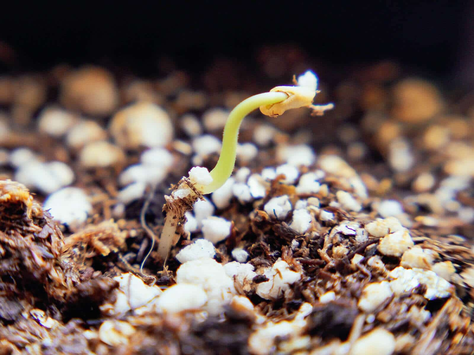 Transplant the germinated seed in potting soil