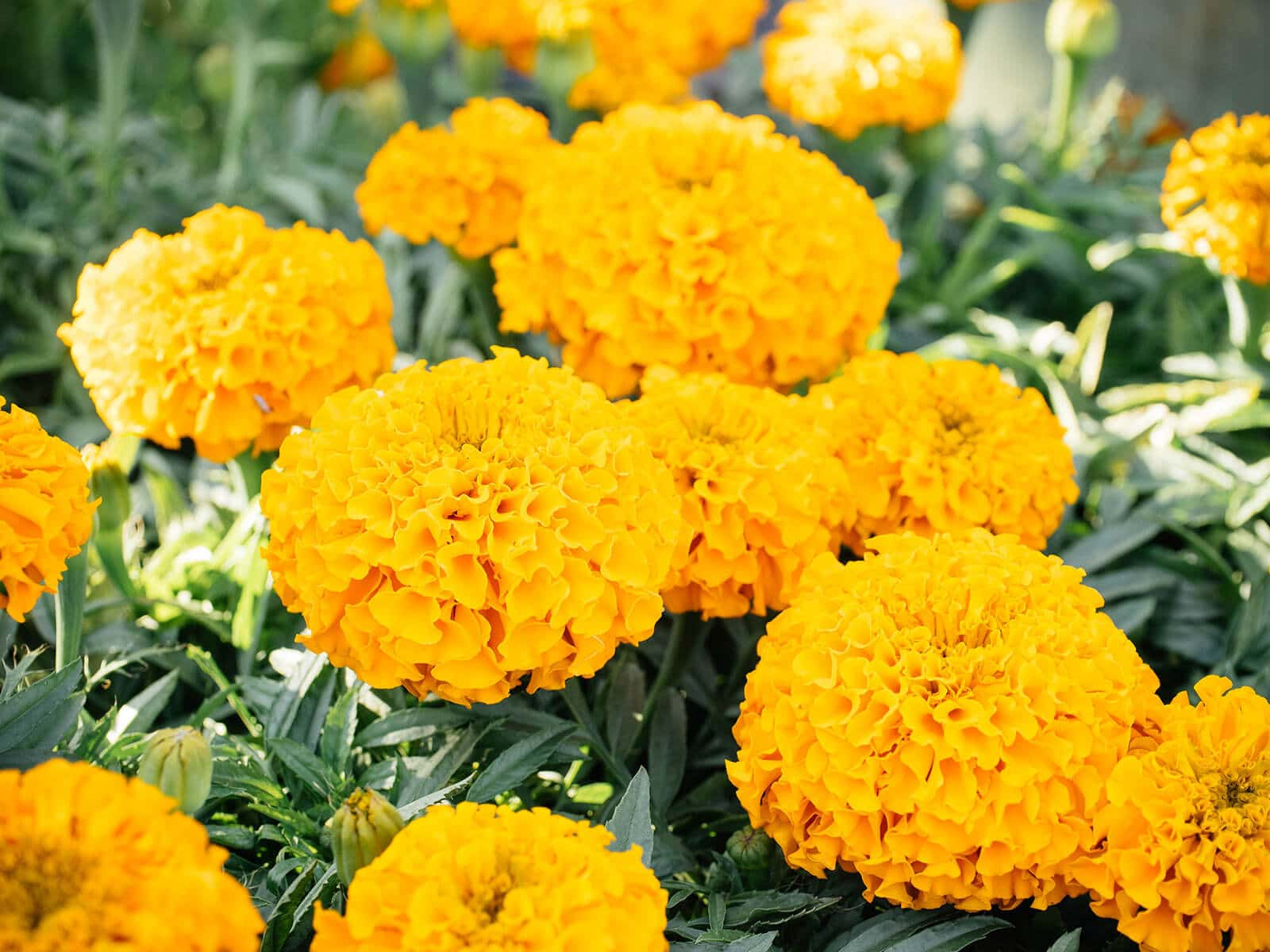 Certain plants like marigolds have strong scents that deter aphids