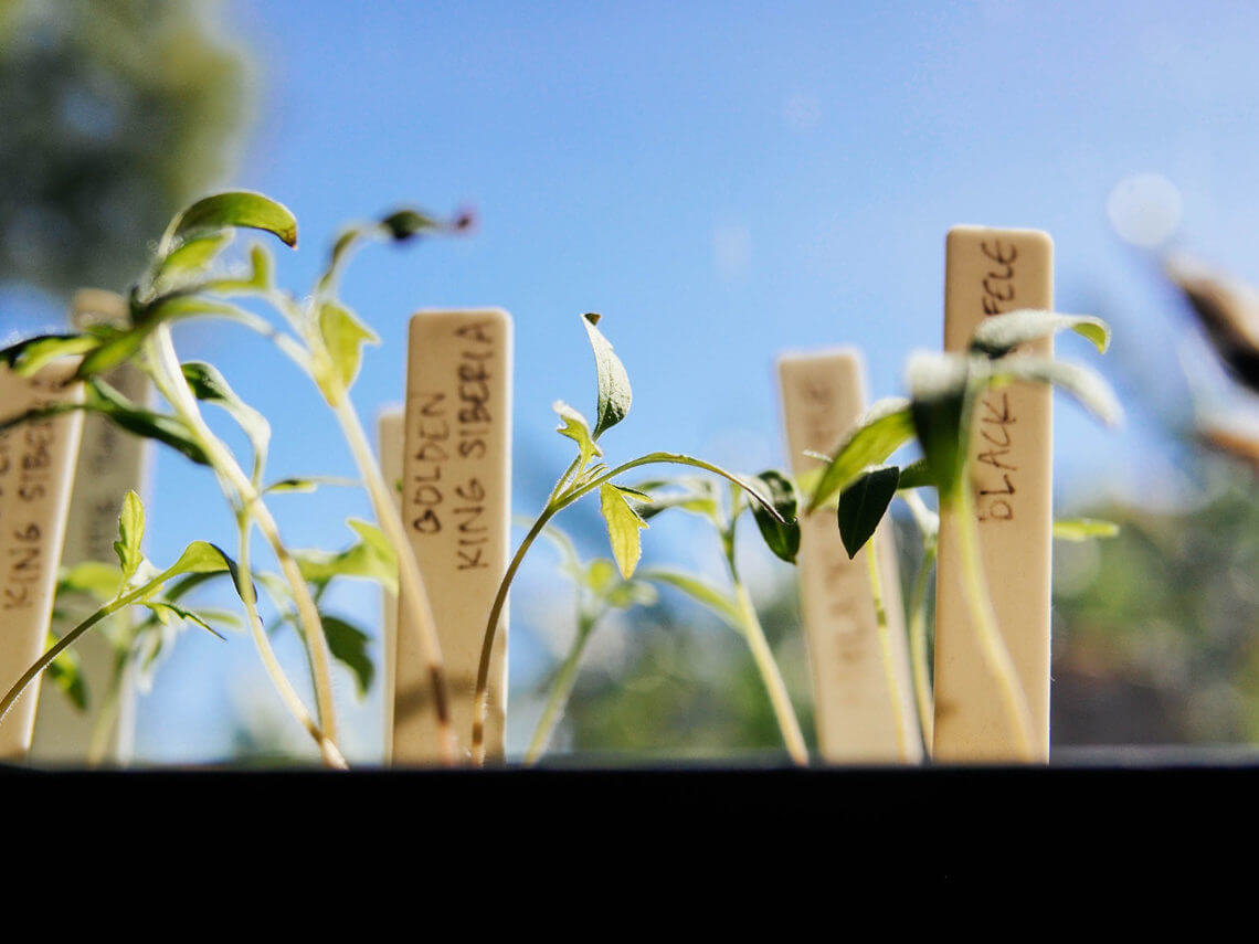 A simple way to harden off seedlings in 7 days (or less)
