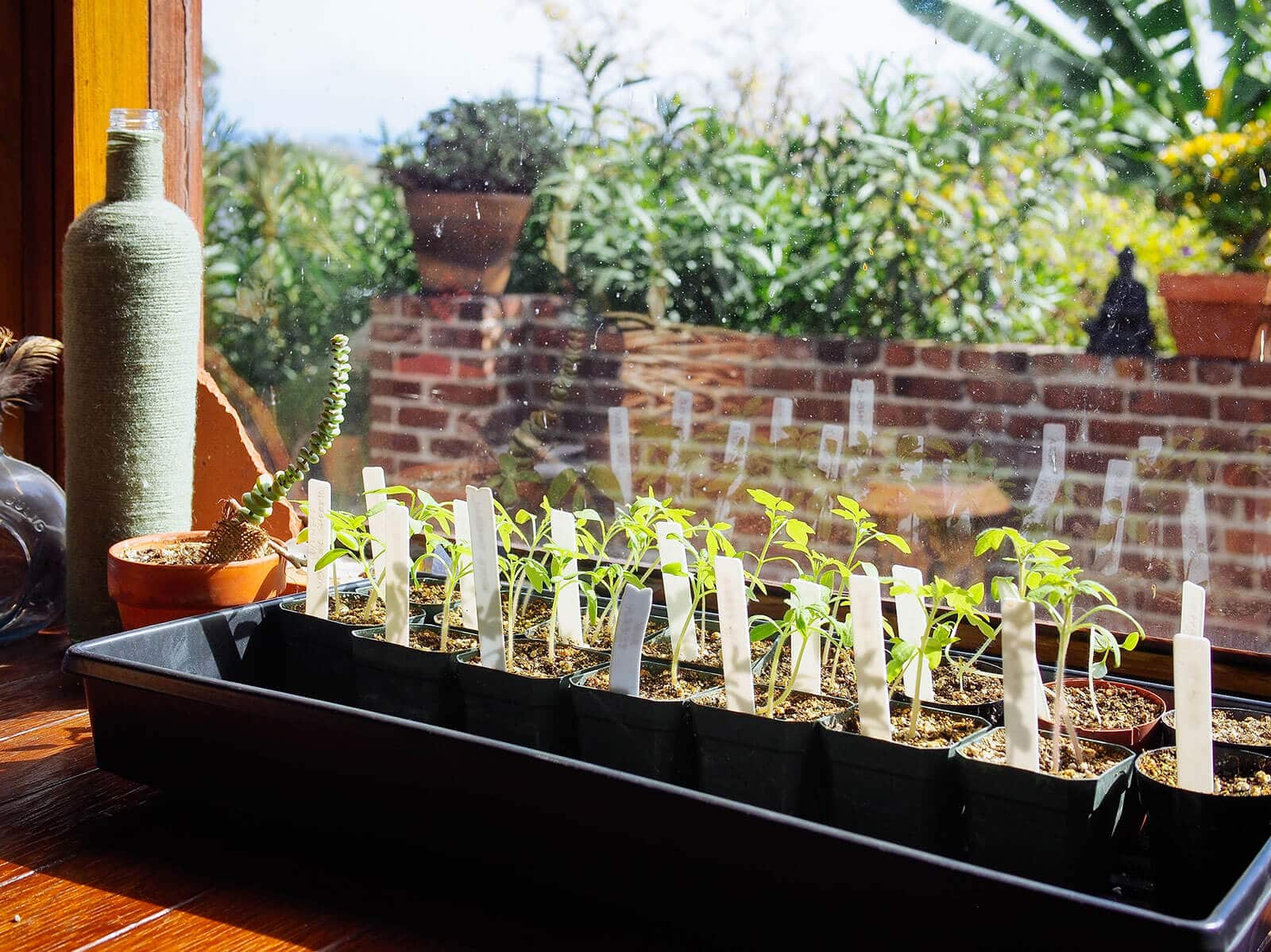 Indoor seedlings need to be acclimated to the outdoors before being transplanted