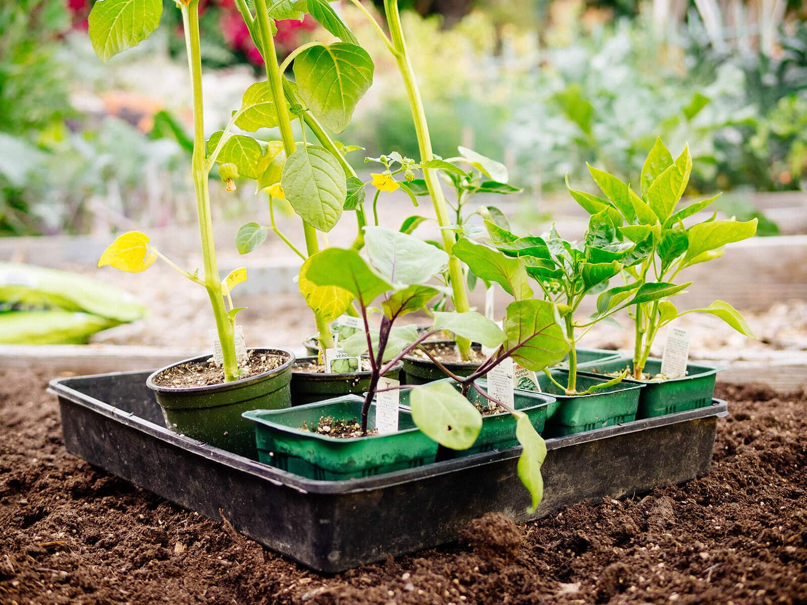 Seedlings purchased from a nursery should be hardened off before transplanting