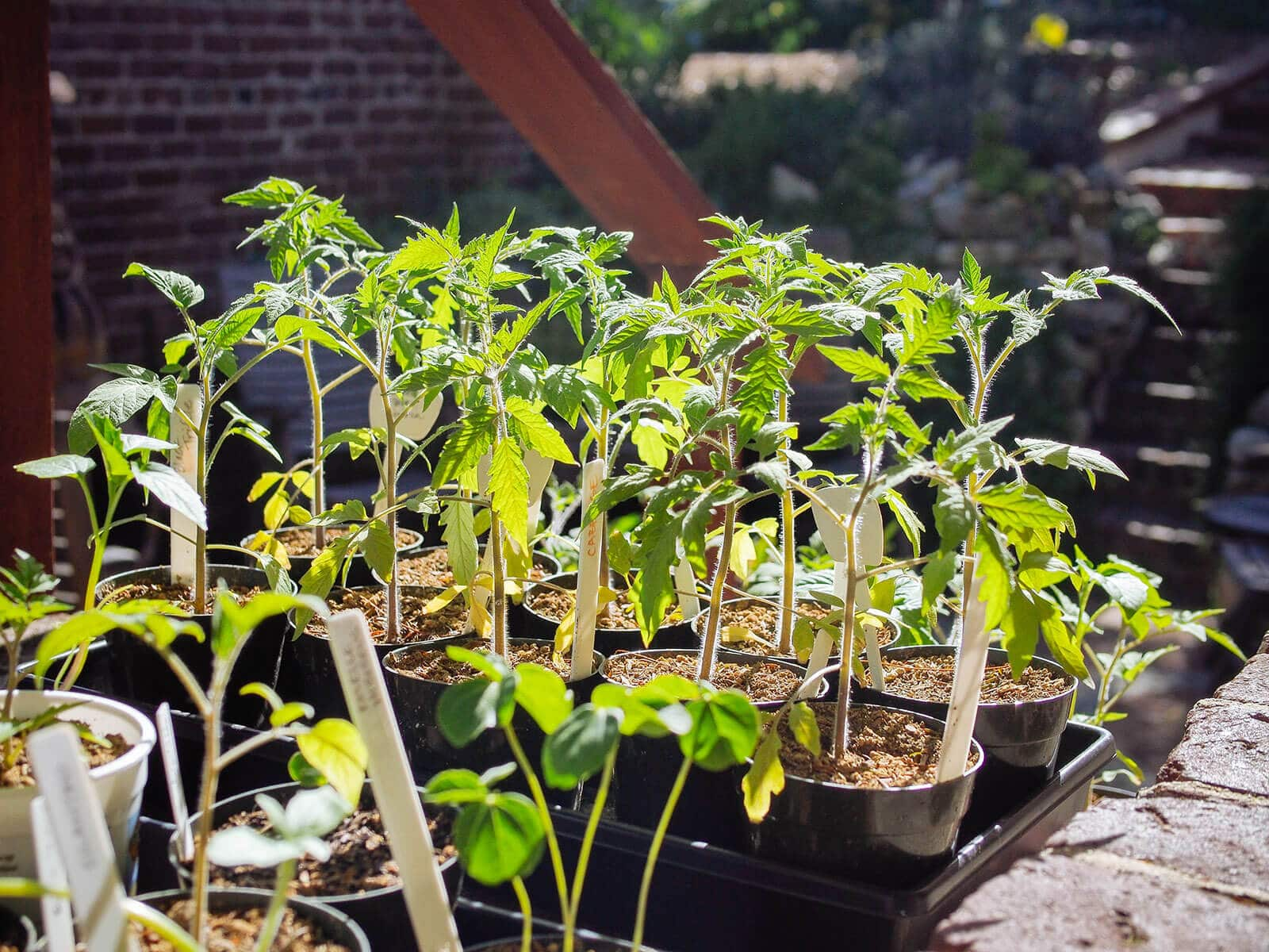 Hardening off tomato starts