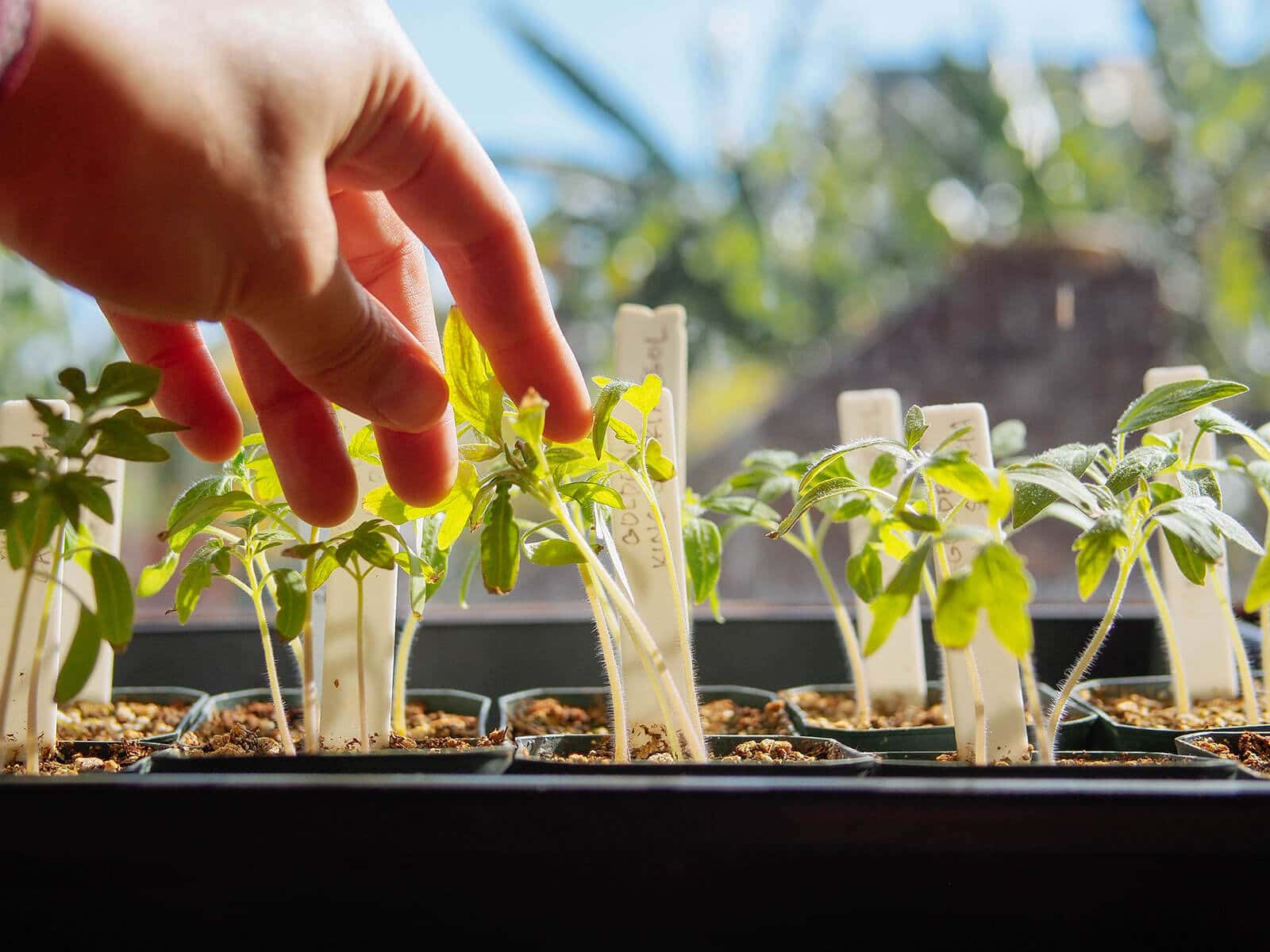 Brushing seedlings with your hand helps them develop stronger stems