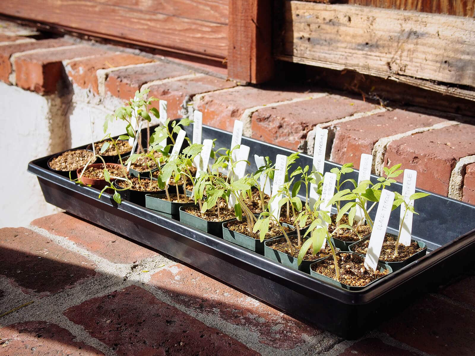 Harden off seedlings by placing them in full sun after a few days