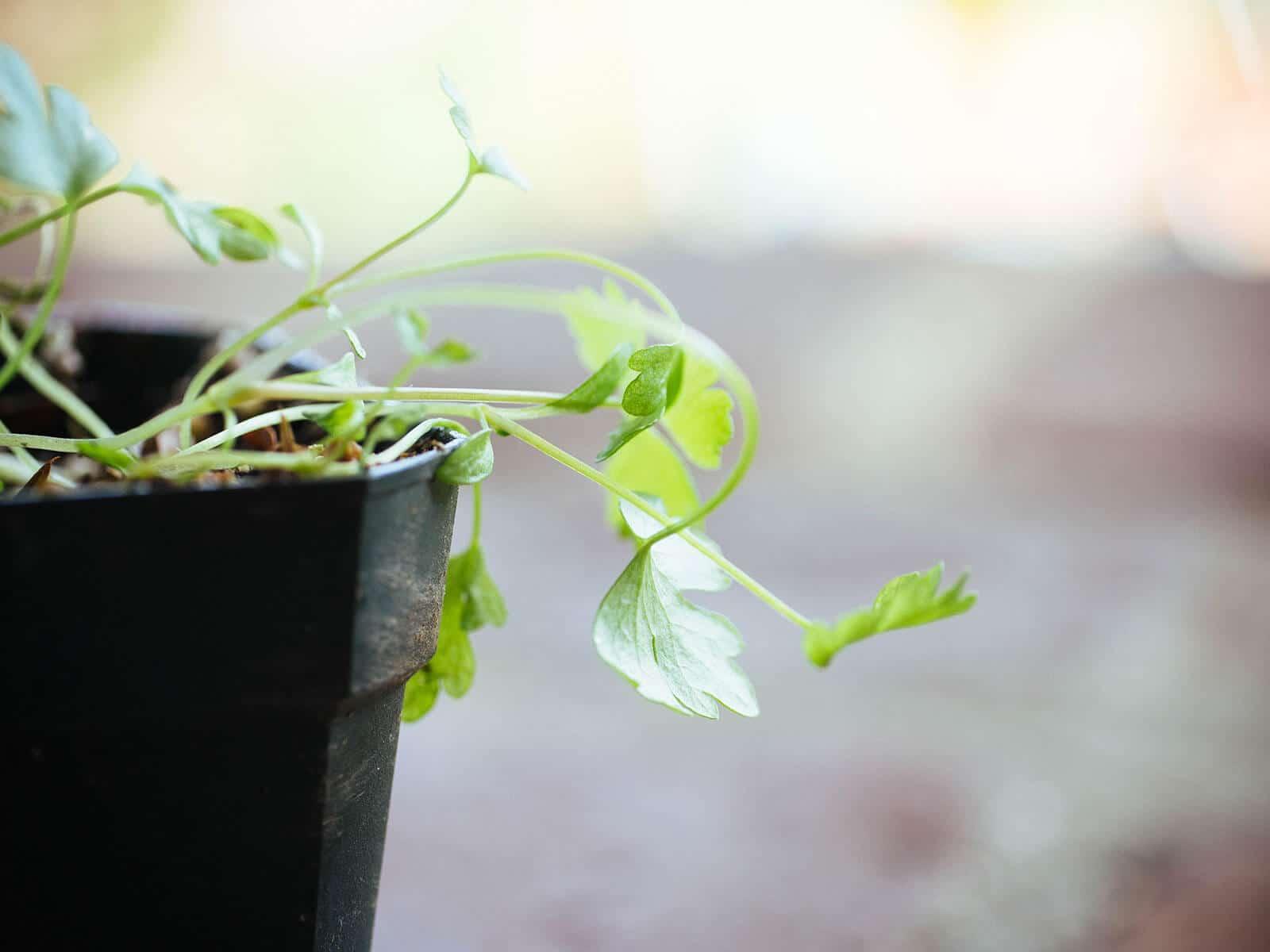 Leggy celery seedlings struggling with too little light for growth