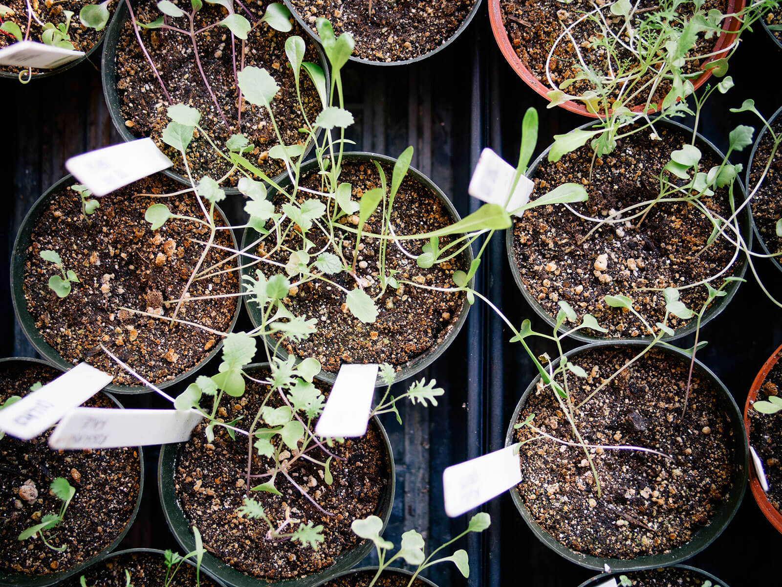 Indoor seedlings often turn leggy when grown in a window due to insufficient light