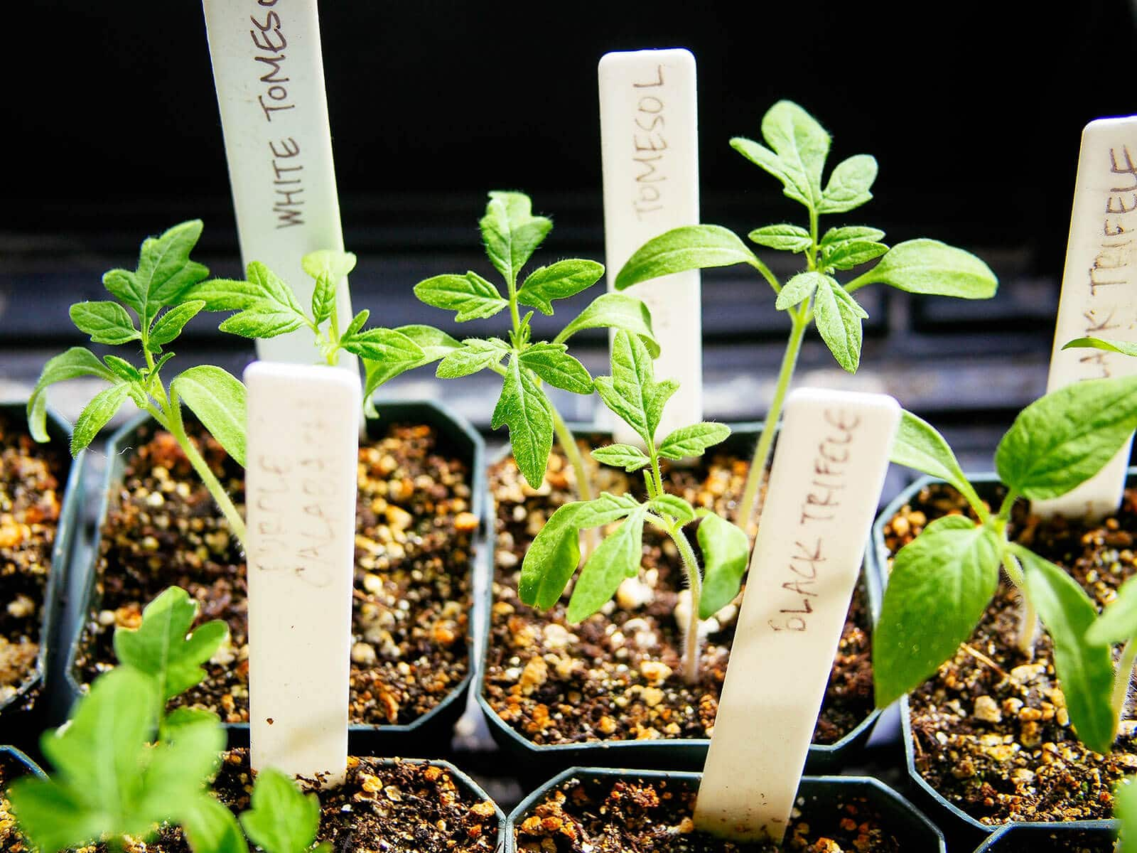 Tomato seedlings with first set of true leaves