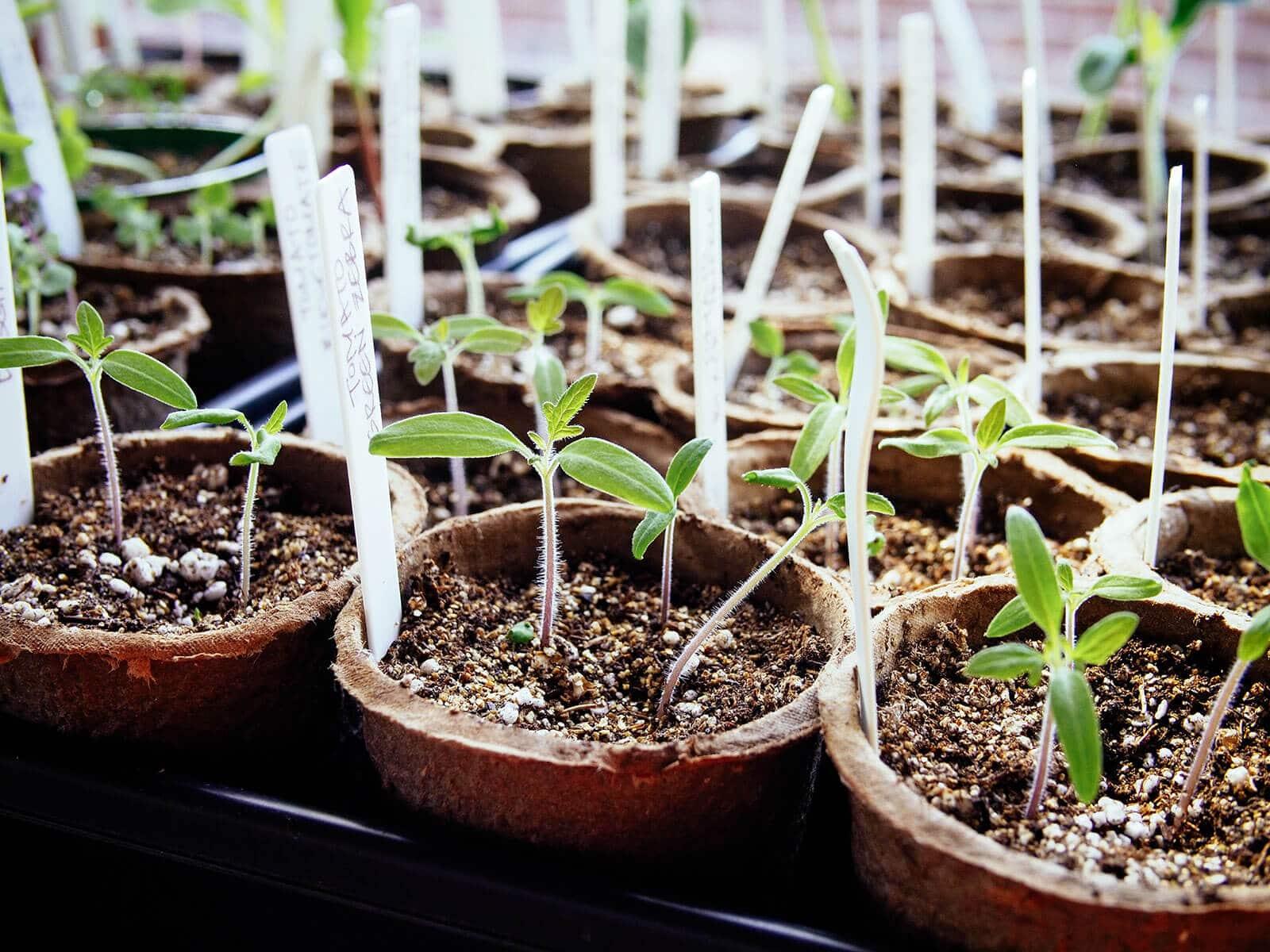 New tomato seedings with cotyledons