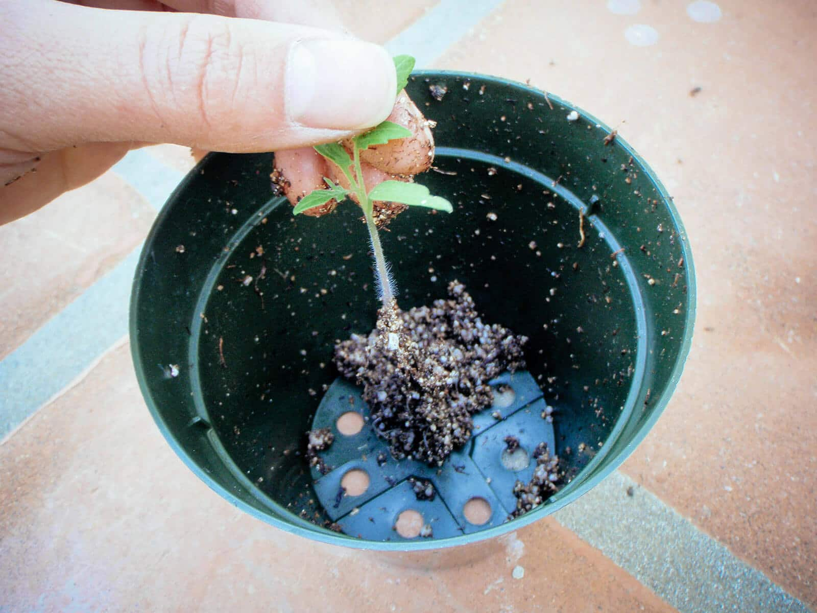 Place the tomato seedling in the pot with its lowest set of leaves even with the rim