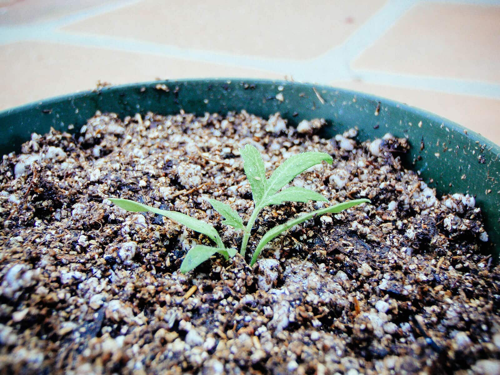 Bury the stem of the tomato seedling up to its lowest set of leaves