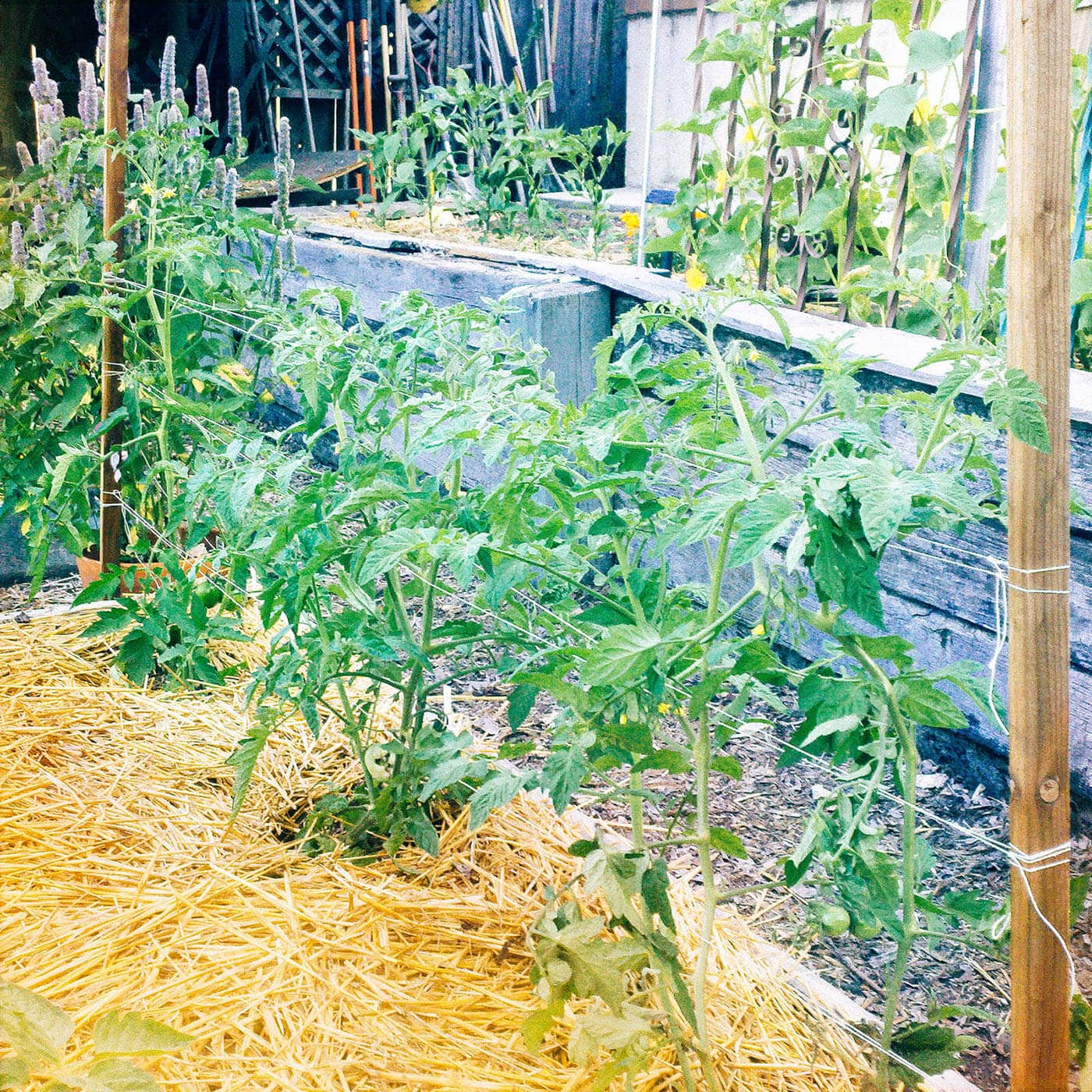 Young tomato plants trellised with the Florida Weave method