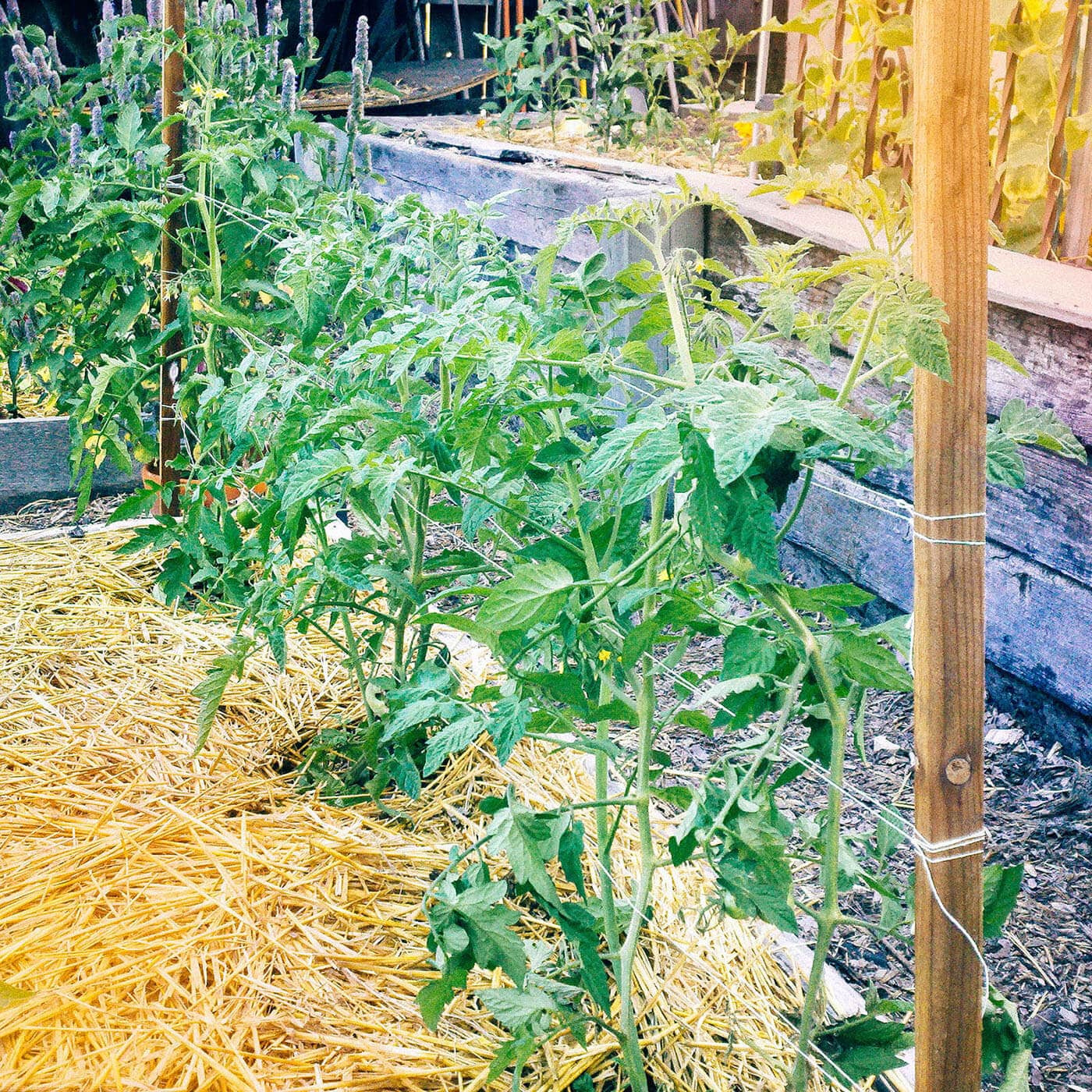 Three tomato plants