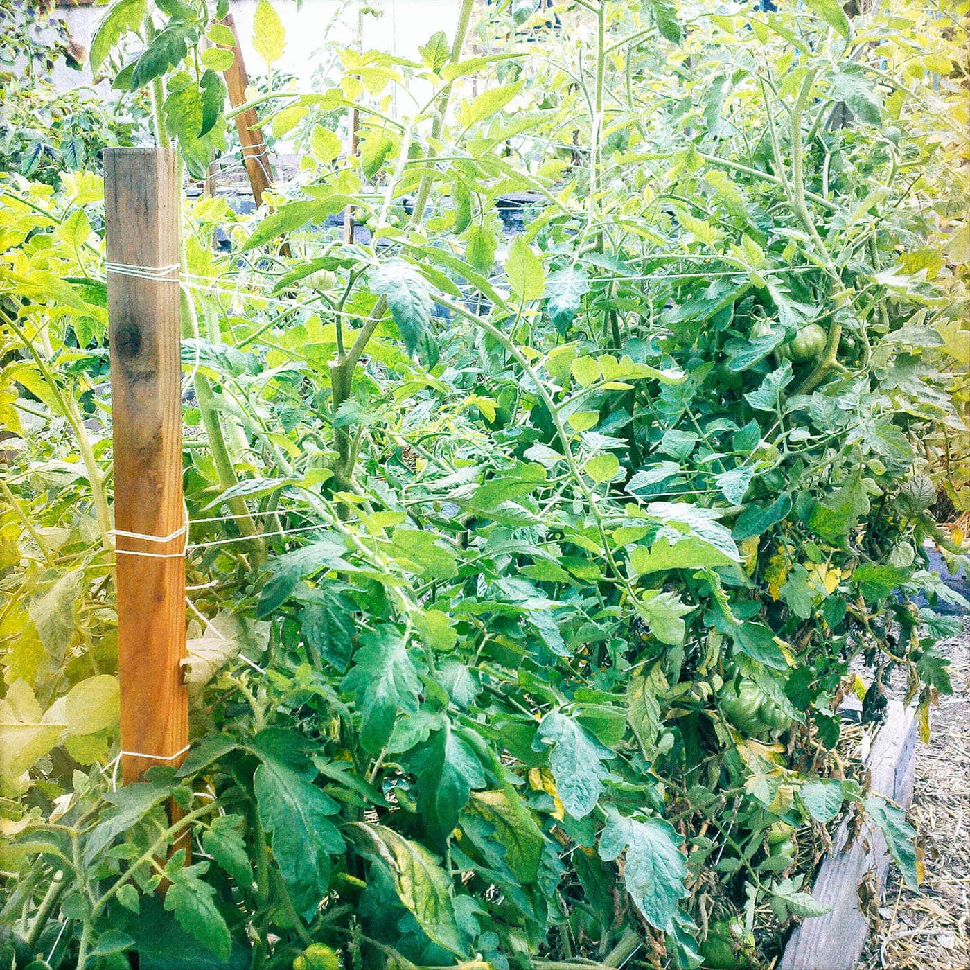 Mature tomato plants supported with loops of twine in a Florida Weave