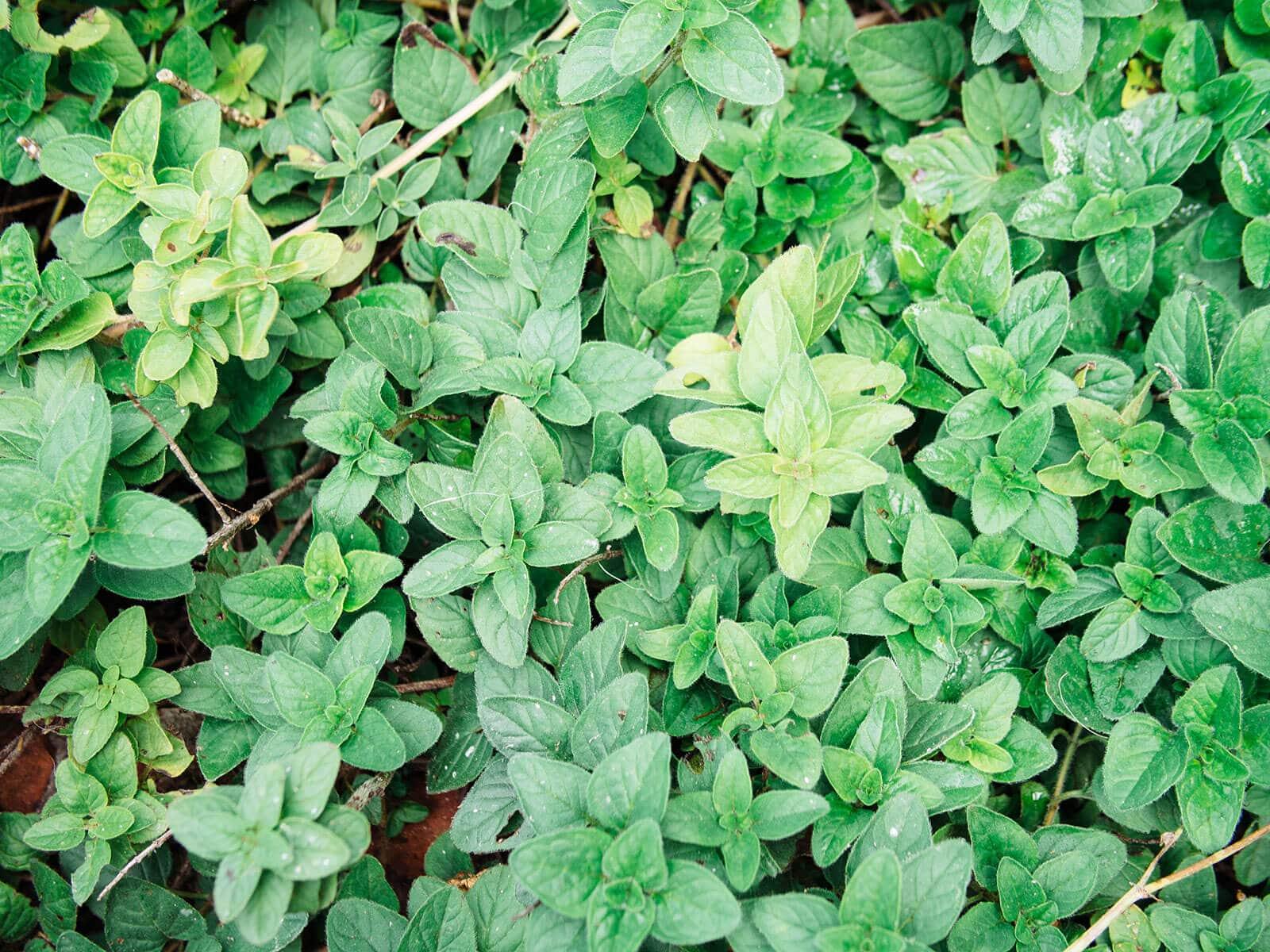 Oregano grown as an edible ground cover