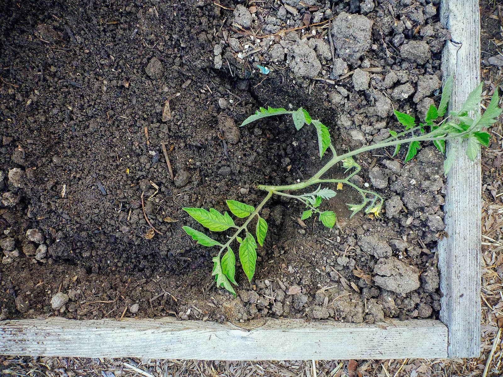 Fill the trench with soil, covering the root ball and the bottom of the stem but leaving the branches and leaves exposed