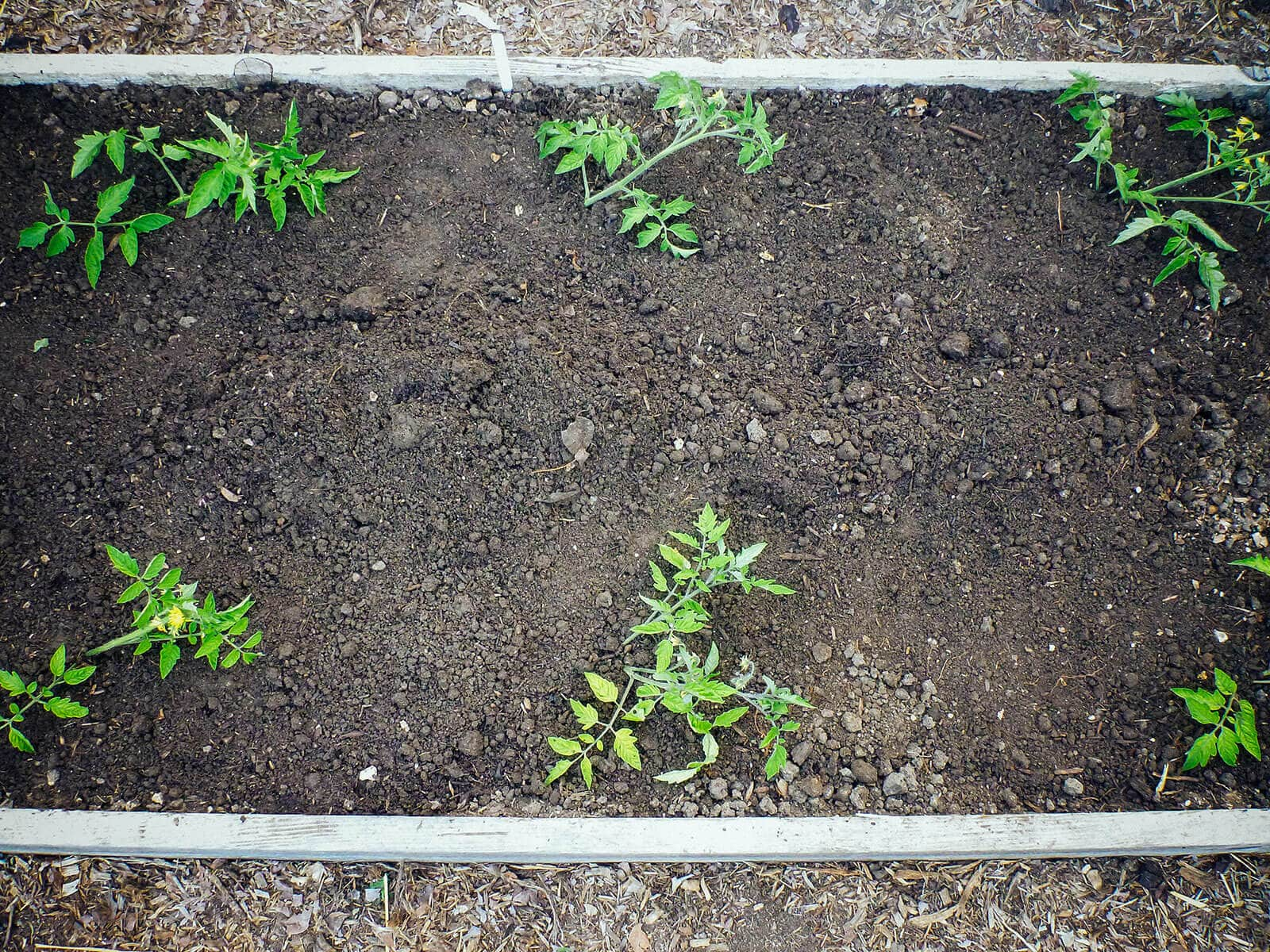 Tomato plants transplanted in trenches (troughs)