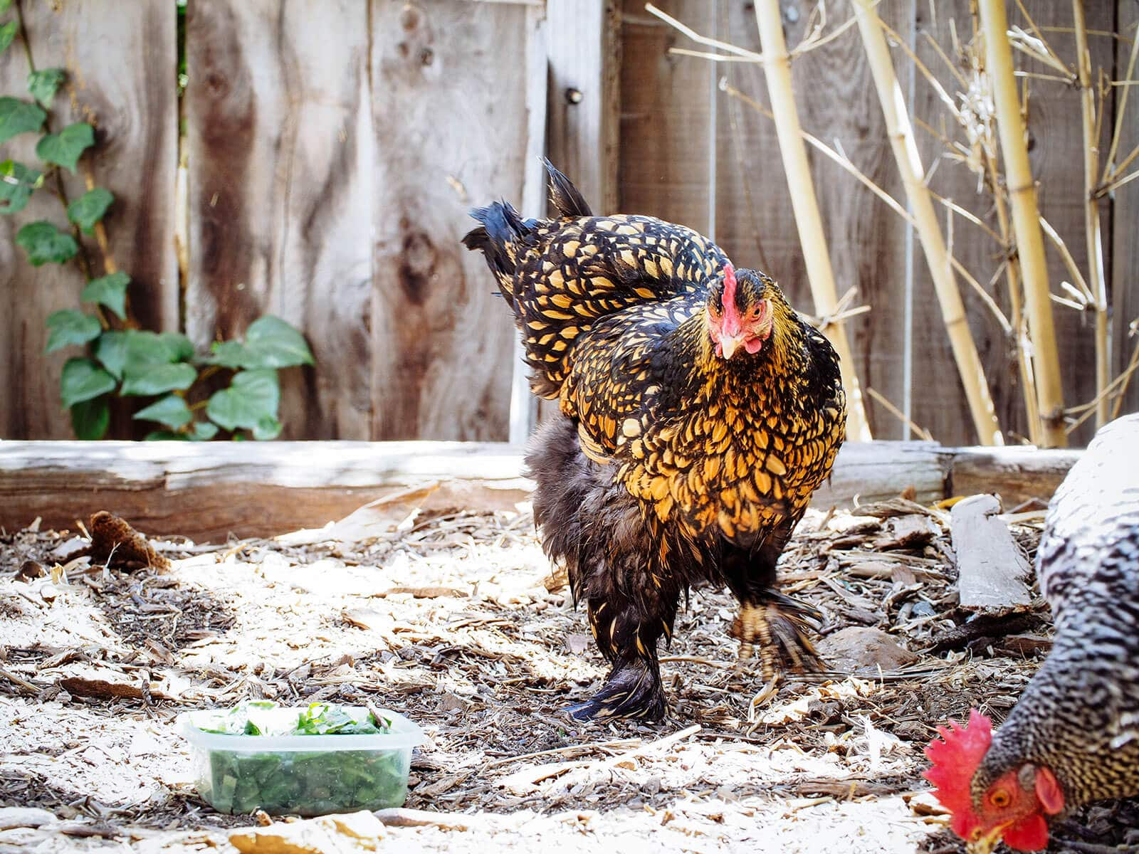 Allow a broody chicken to air dry her feathers after a cold bath