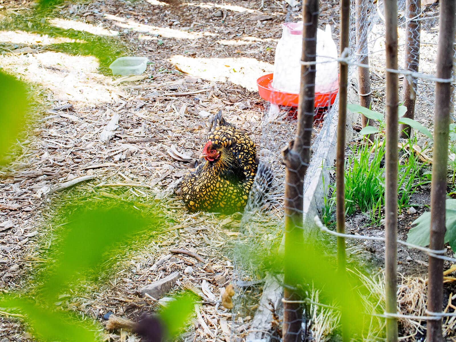 A broody chicken will sit just about anywhere, including a pile of mulch