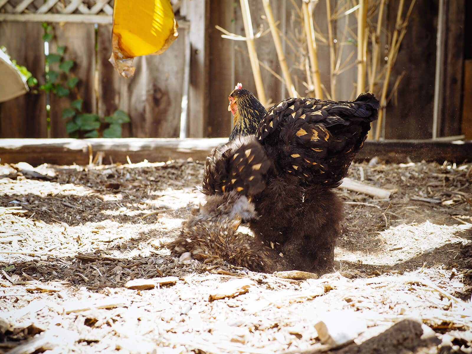 Happy Cochin hen scratching in the dirt