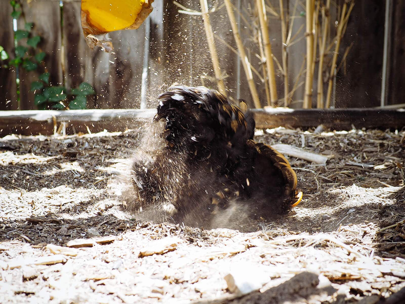 Cochin hen dust bathing in mulch