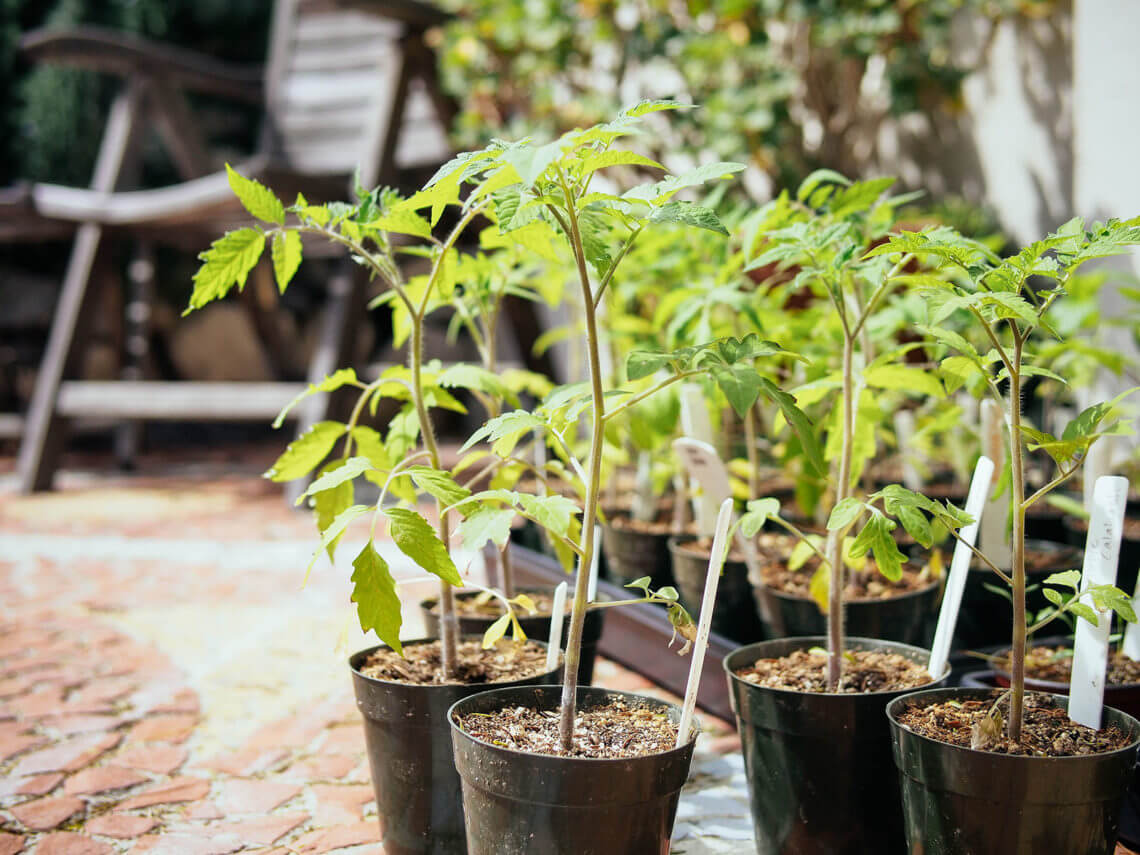 Why and how to transplant tomatoes (a second time)