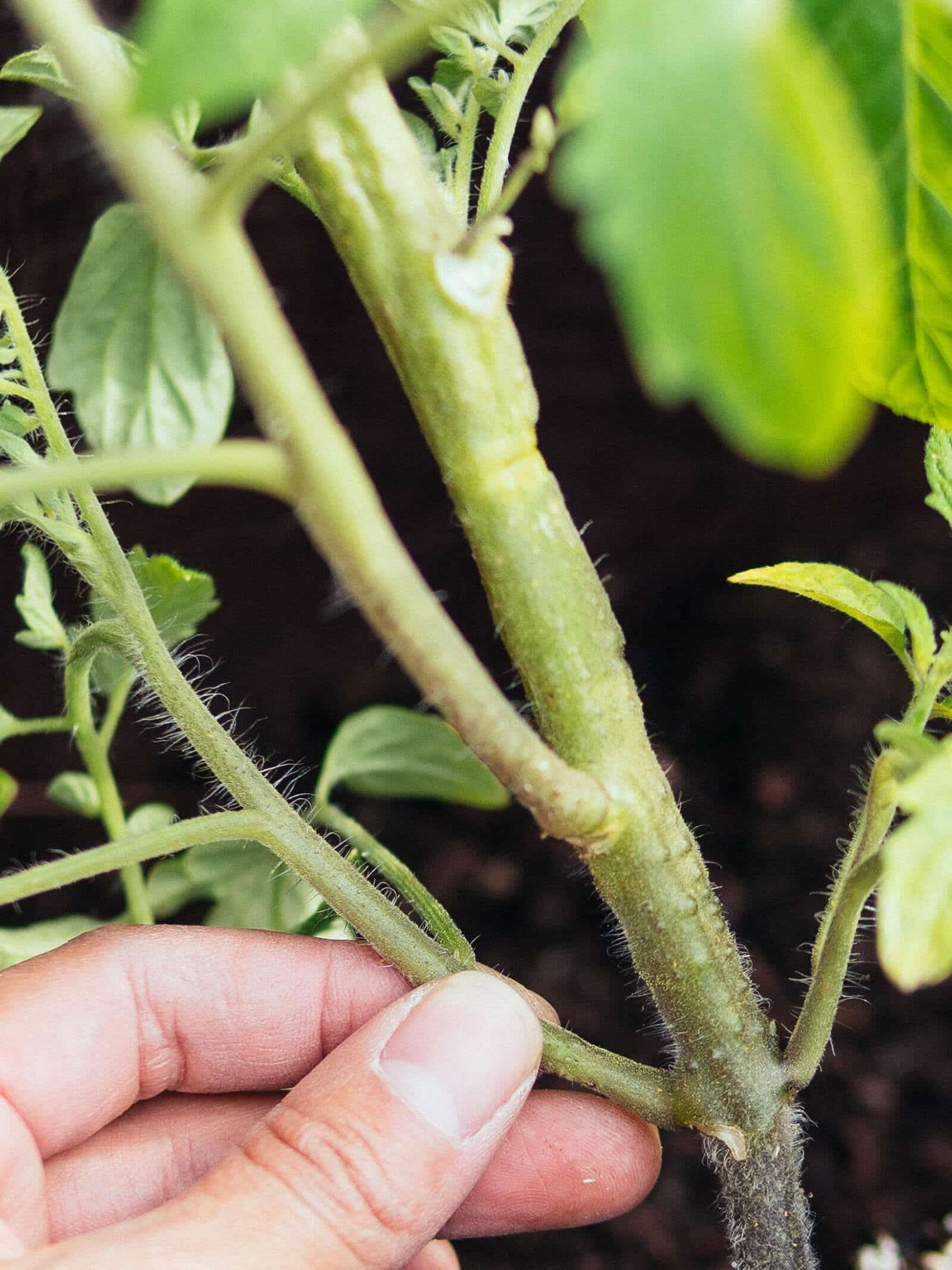 Tomato stem primordia (tiny bumps on the stem that are the earliest stage of root development)