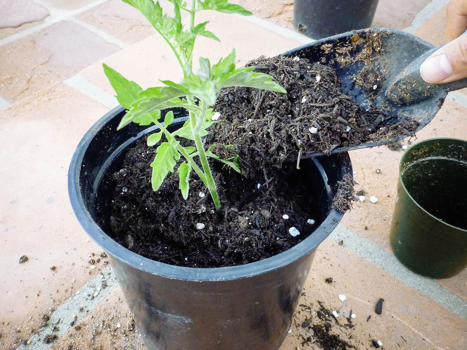Fill the pot with high-quality potting soil