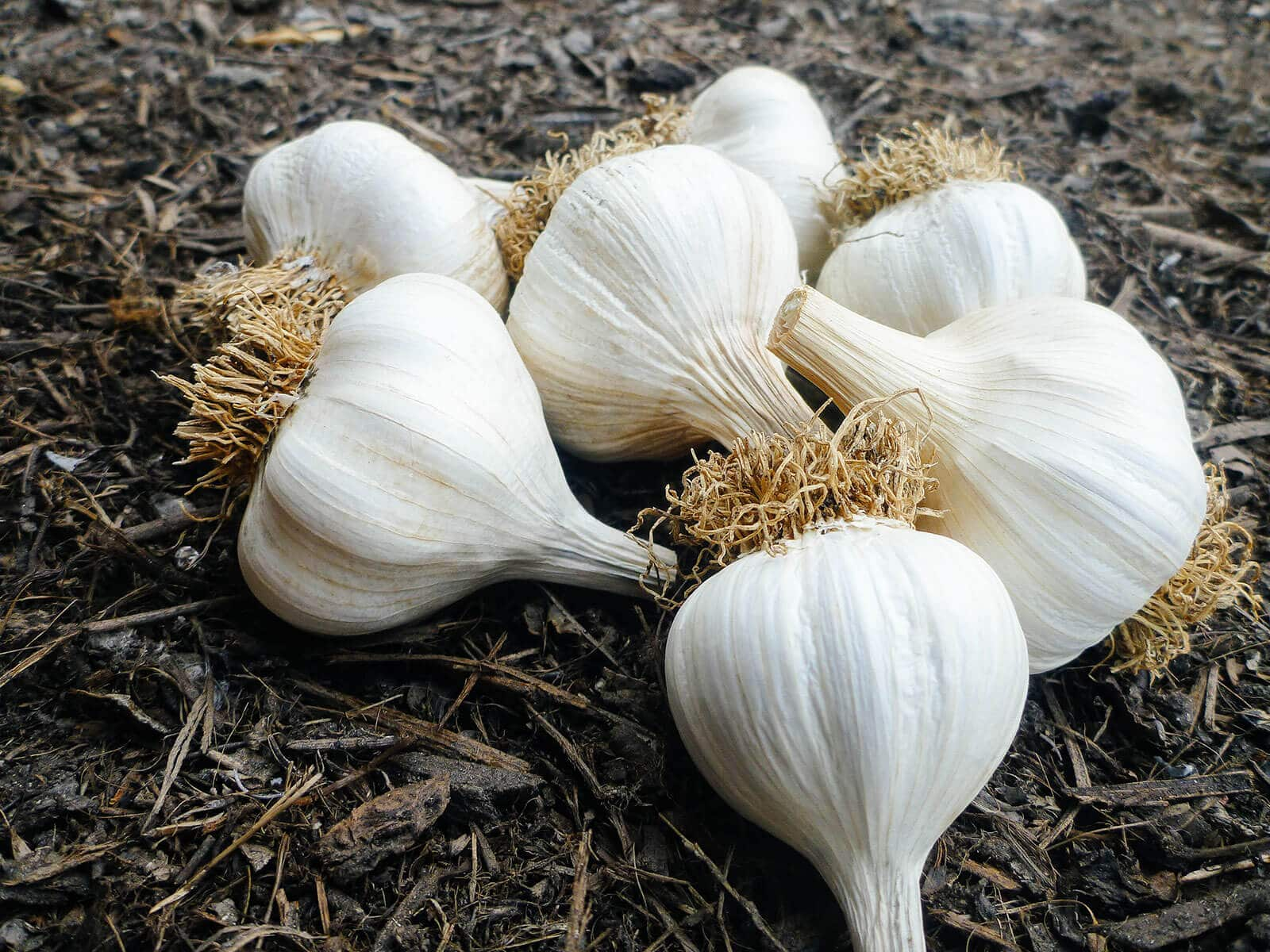 Freshly harvested garlic bulbs in summer with the roots and tops trimmed