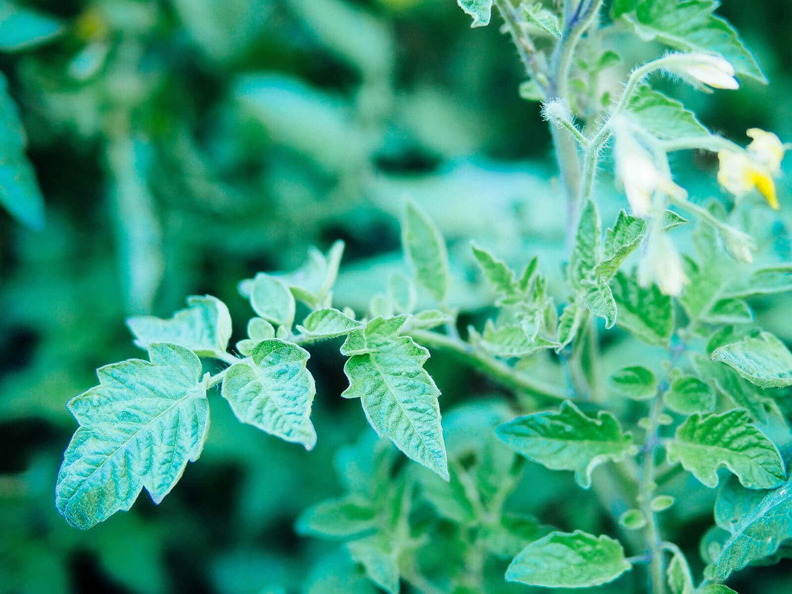 Young tomato leaves on a garden plant