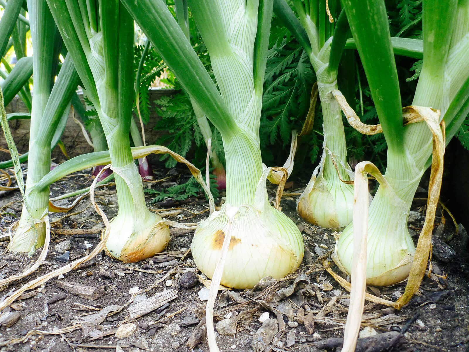 Mature onion plants with bulbs protruding from the soil