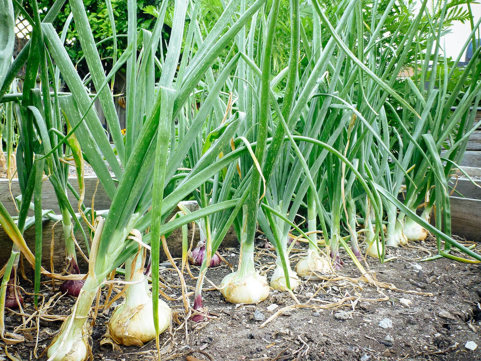 Mature onion plants in a garden bed