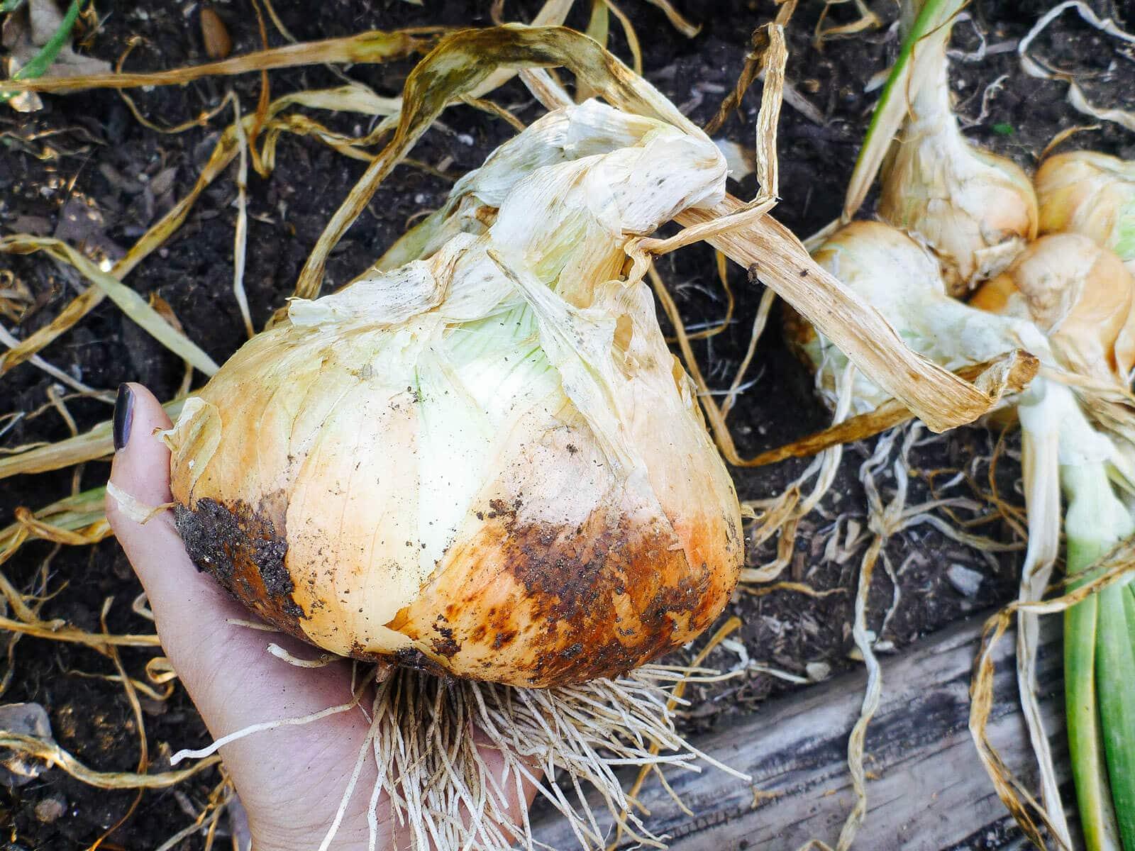 Freshly harvested onion bulb