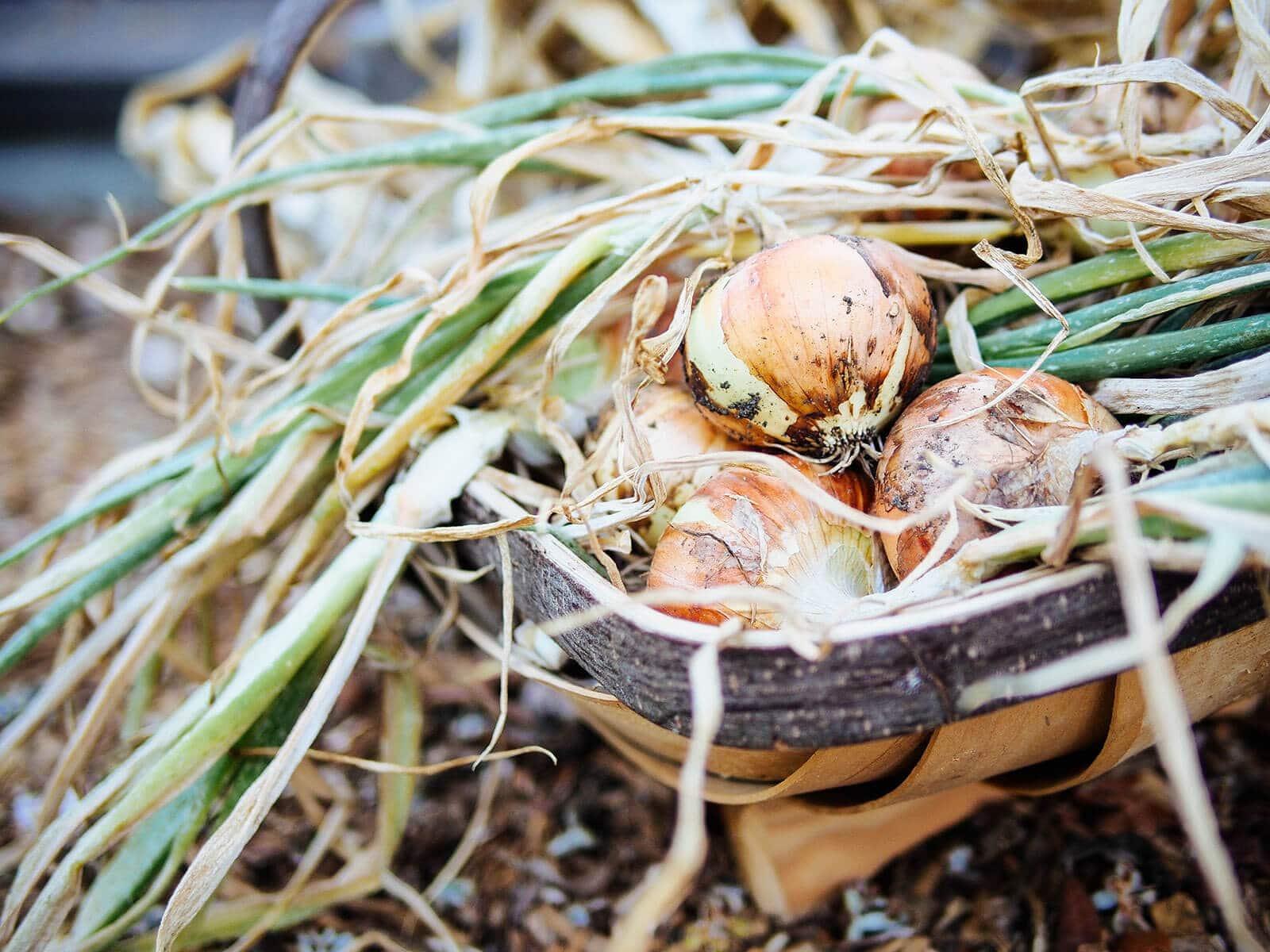 Onion harvest in a garden trug