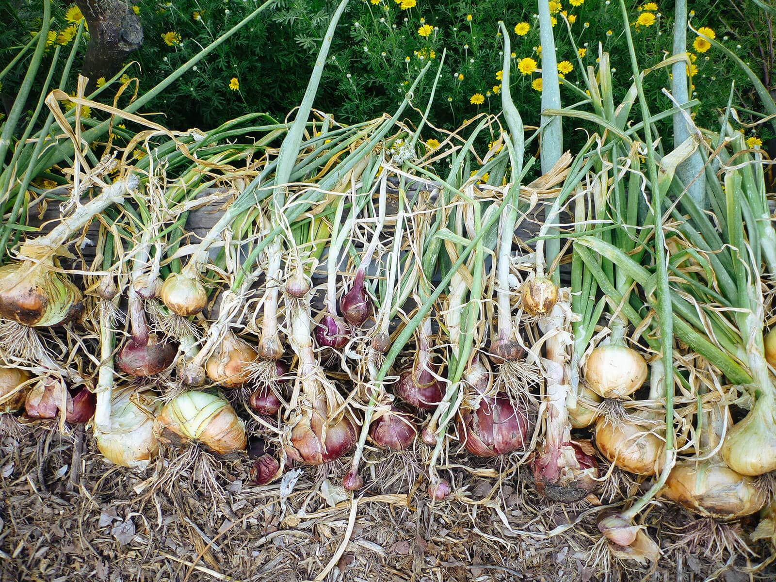 Freshly picked onions spread out on the ground